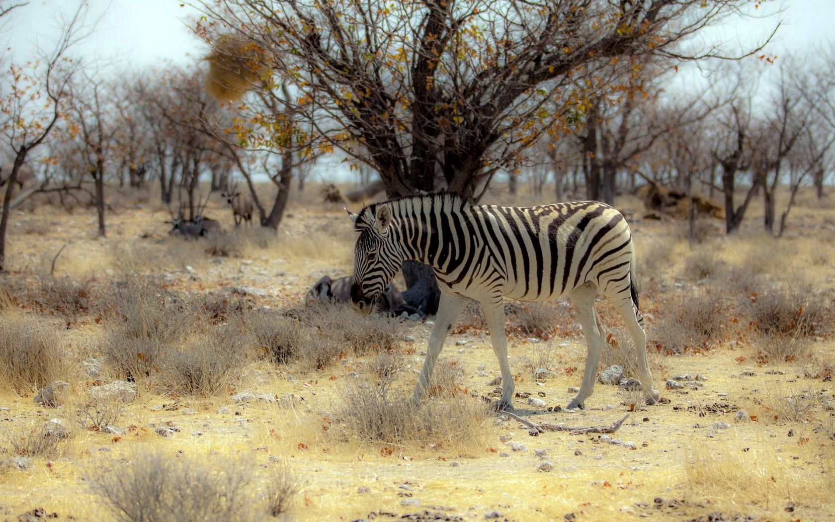116172 download wallpaper Animals, Zebra, Nature, Africa screensavers and pictures for free