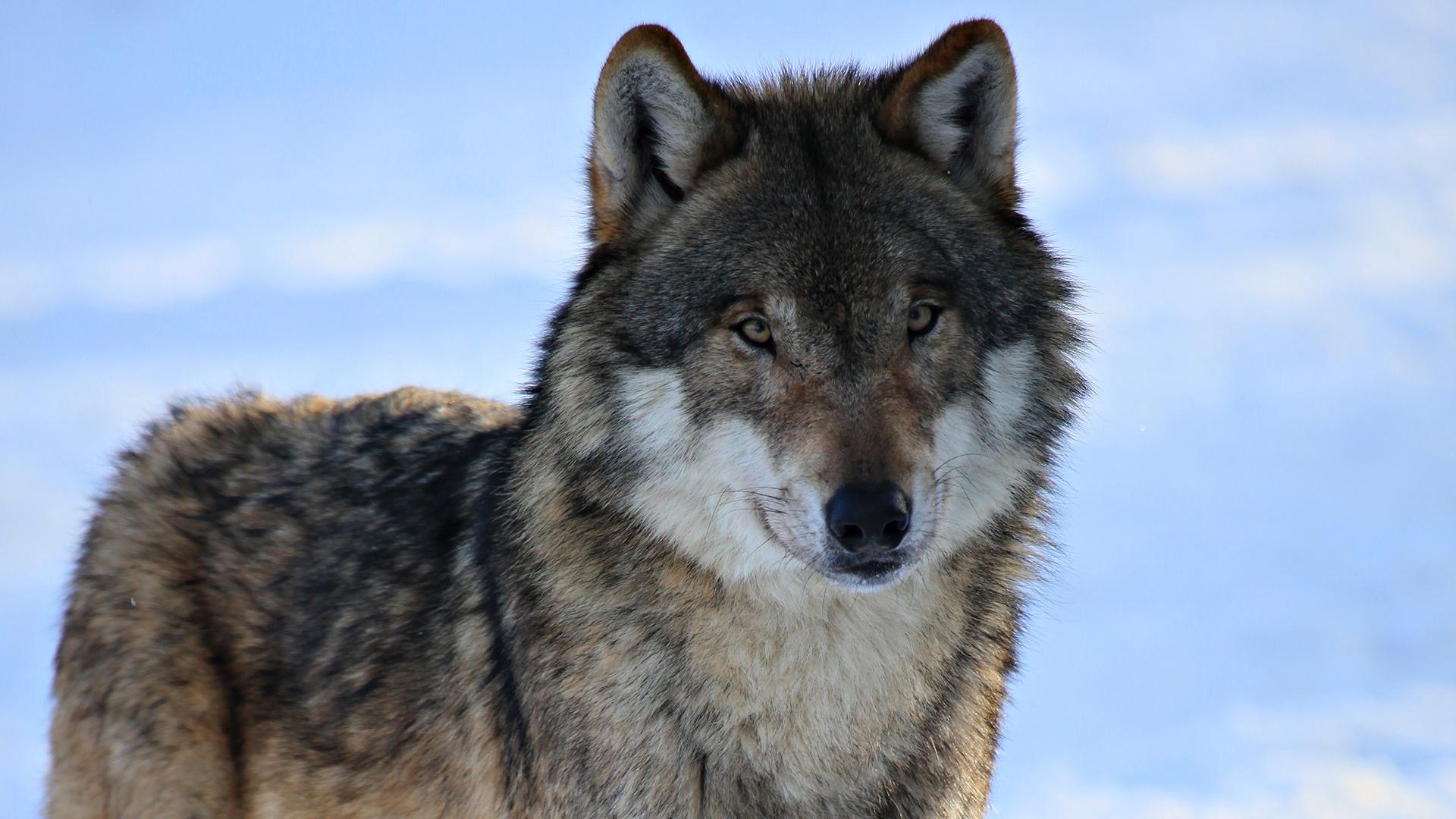 45482 скачать обои Животные, Волки - заставки и картинки бесплатно