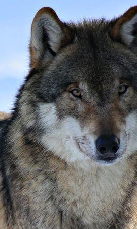 45482 baixar papel de parede Animais, Lobos - protetores de tela e imagens gratuitamente