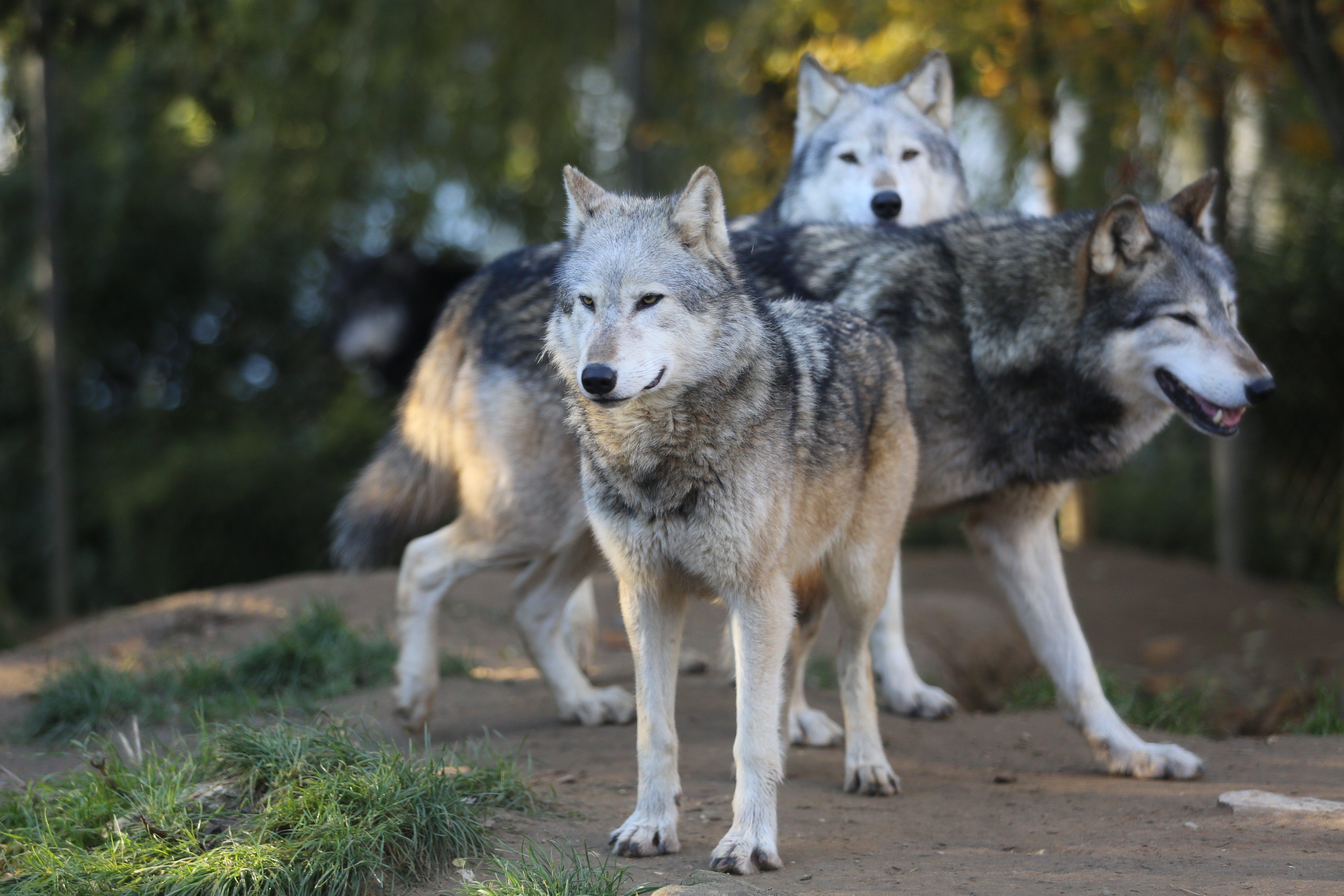 60924 télécharger le fond d'écran Animaux, Loups, Prédateur, Troupeau, Vue, Opinion - économiseurs d'écran et images gratuitement