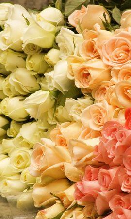 46141 descargar fondo de pantalla Plantas, Flores, Roses: protectores de pantalla e imágenes gratis