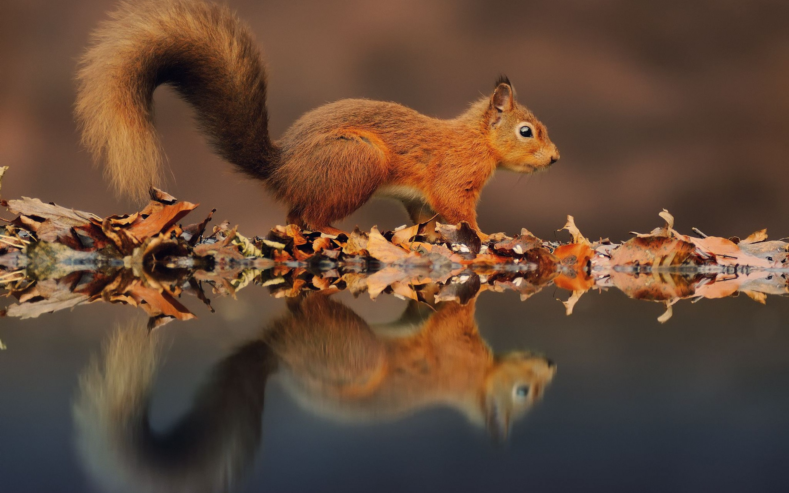 36197 download wallpaper Animals, Squirrel screensavers and pictures for free