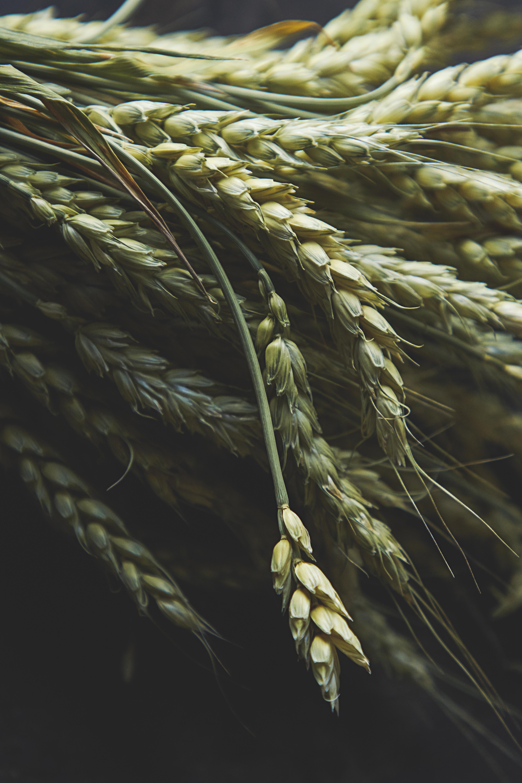 131791 скачать обои Макро, Колосья, Зеленый, Пшеница - заставки и картинки бесплатно