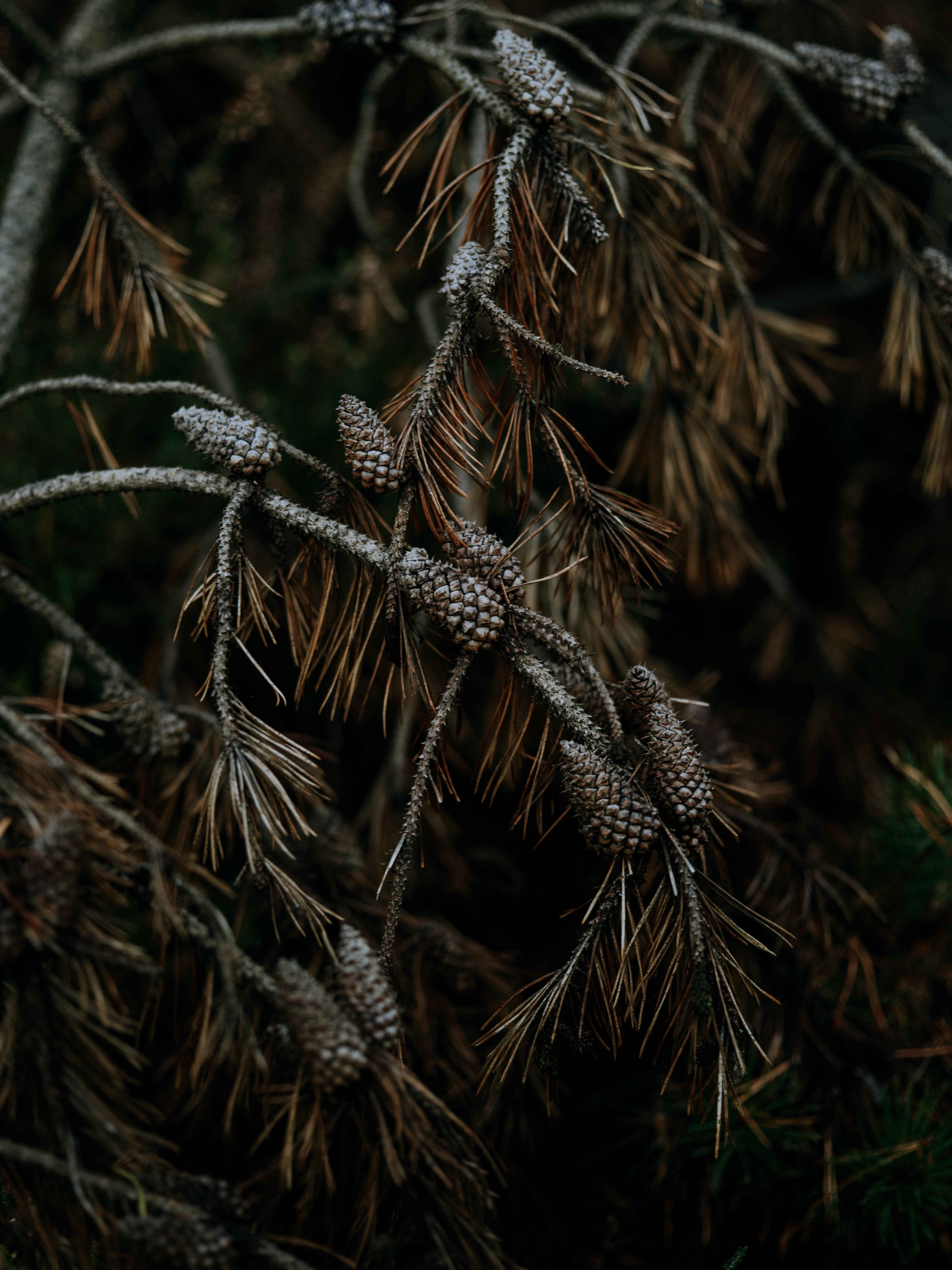 136530 скачать обои Природа, Шишки, Дерево, Ветки, Хвоя, Сосна - заставки и картинки бесплатно