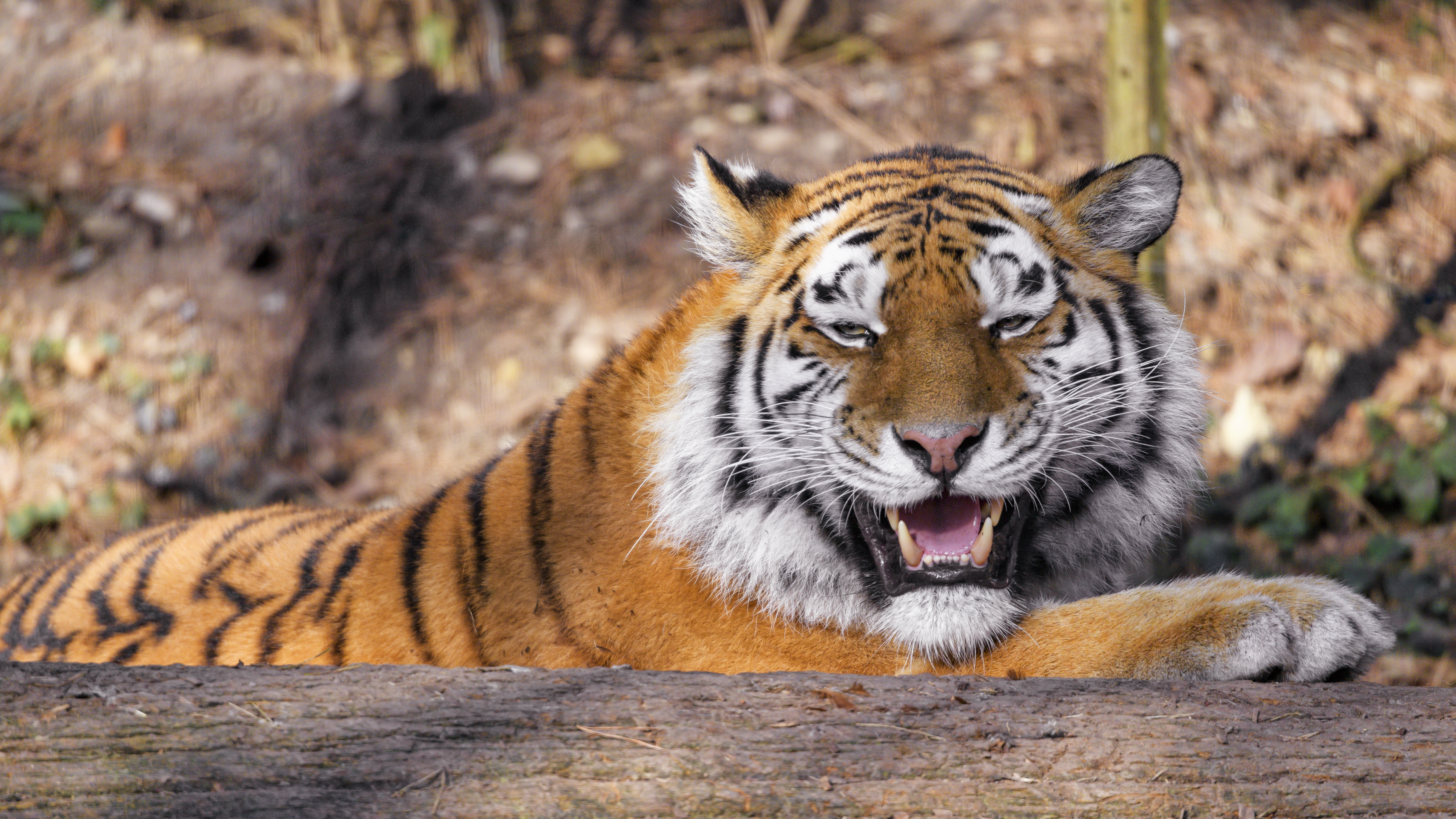 128910 download wallpaper Animals, Tiger, Predator, Animal, Fangs, Big Cat screensavers and pictures for free