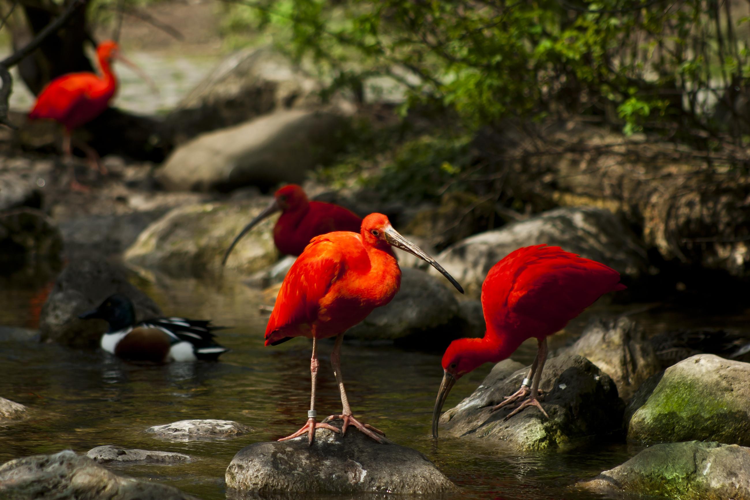 111498 Заставки и Обои Птицы на телефон. Скачать Птицы, Животные, Природа, Вода, Деревья, Камни, Мох, Ручей, Ибисы картинки бесплатно