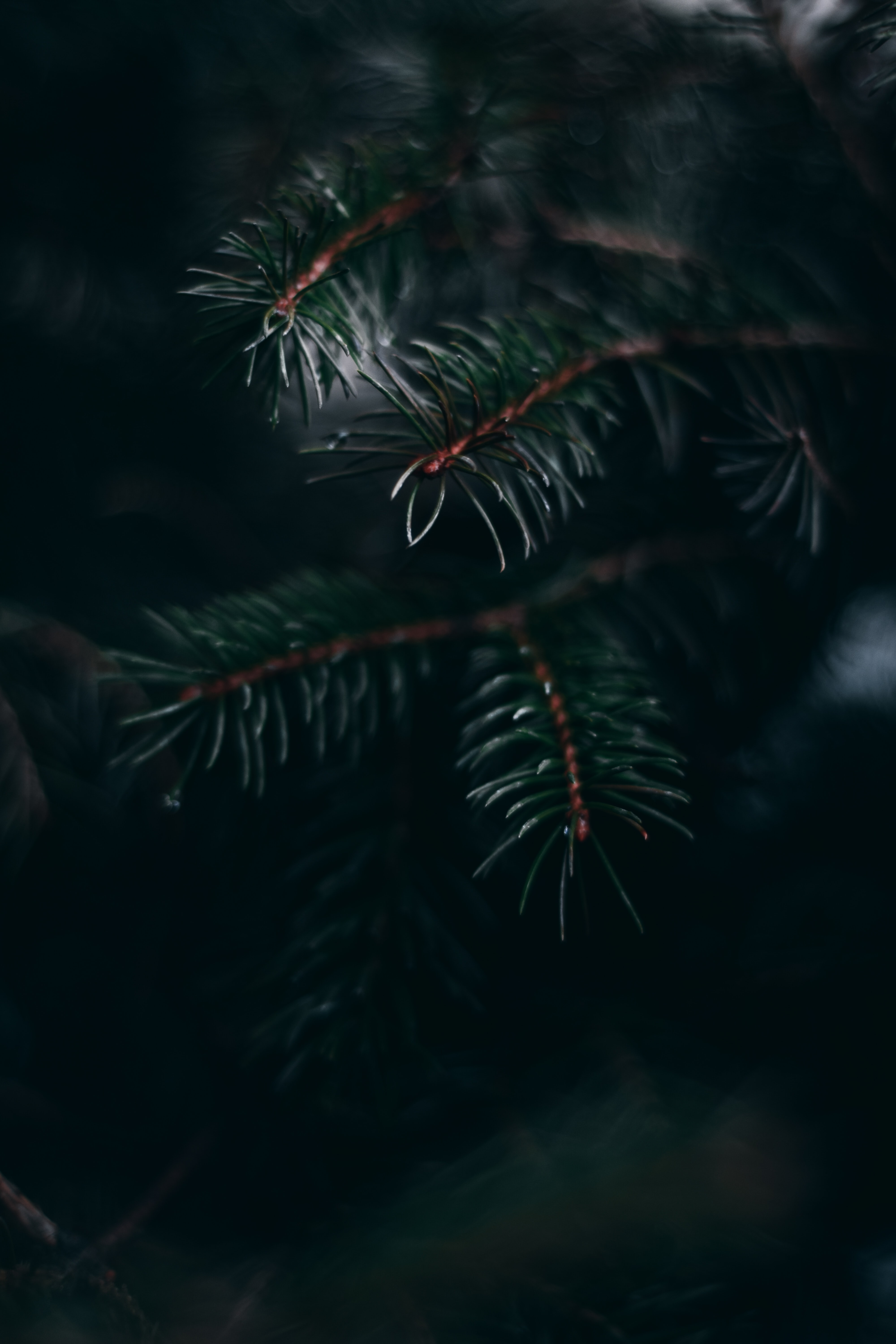 109589 Screensavers and Wallpapers Pine for phone. Download Pine, Plant, Macro, Branch, Needles pictures for free