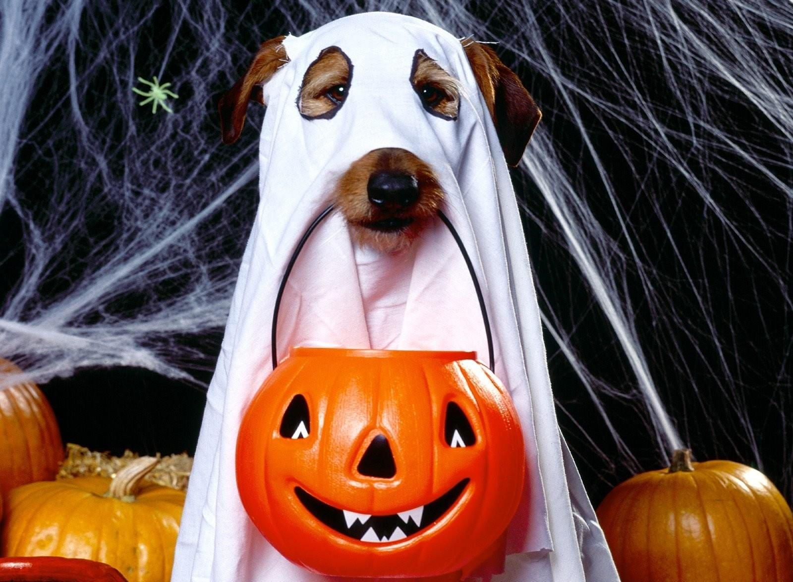 105032 Screensavers and Wallpapers Halloween for phone. Download Holidays, Halloween, Web, Dog, Holiday, Bringing, Reduction, Jack's Lantern pictures for free