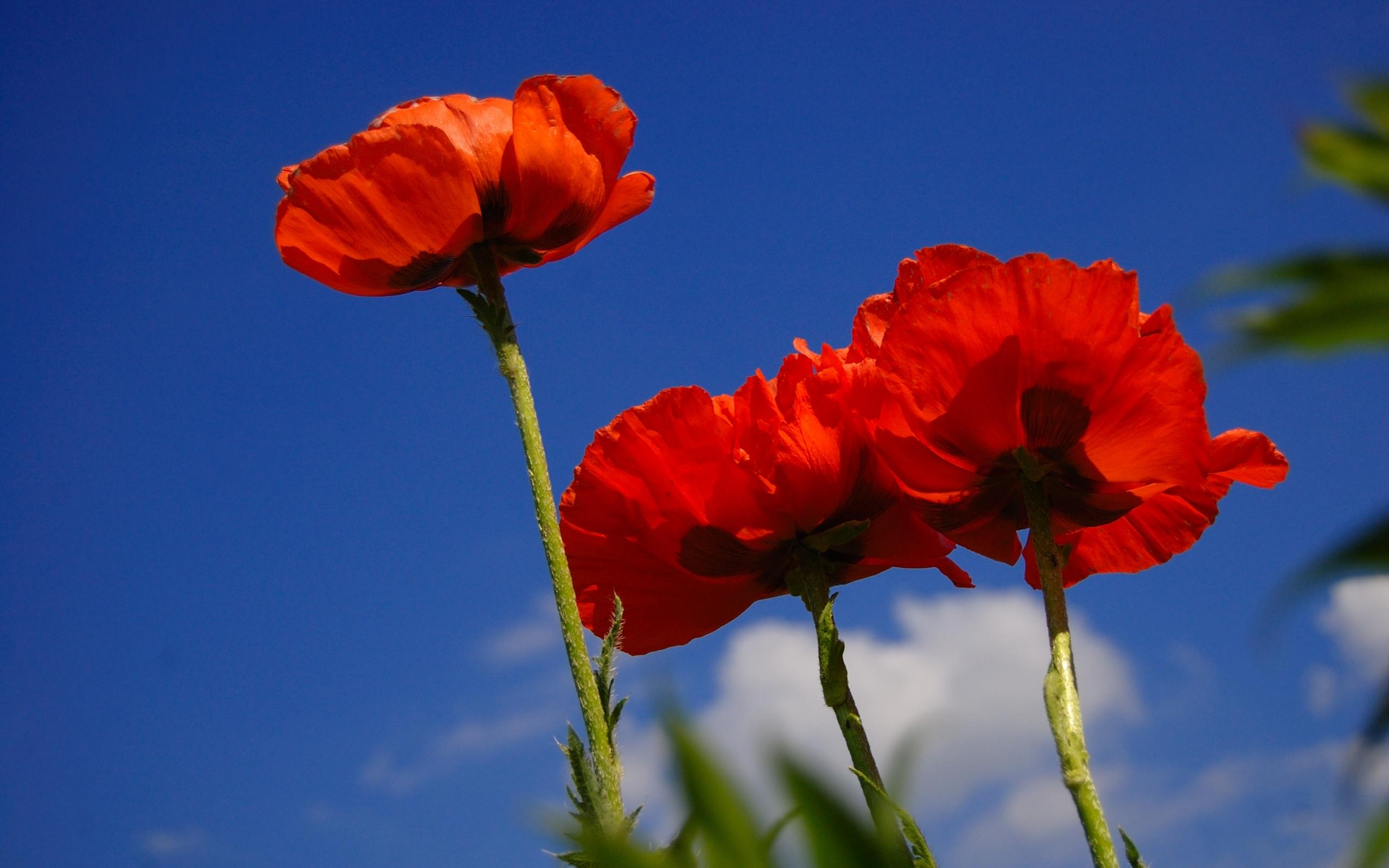 48534 скачать обои Растения, Цветы, Маки - заставки и картинки бесплатно