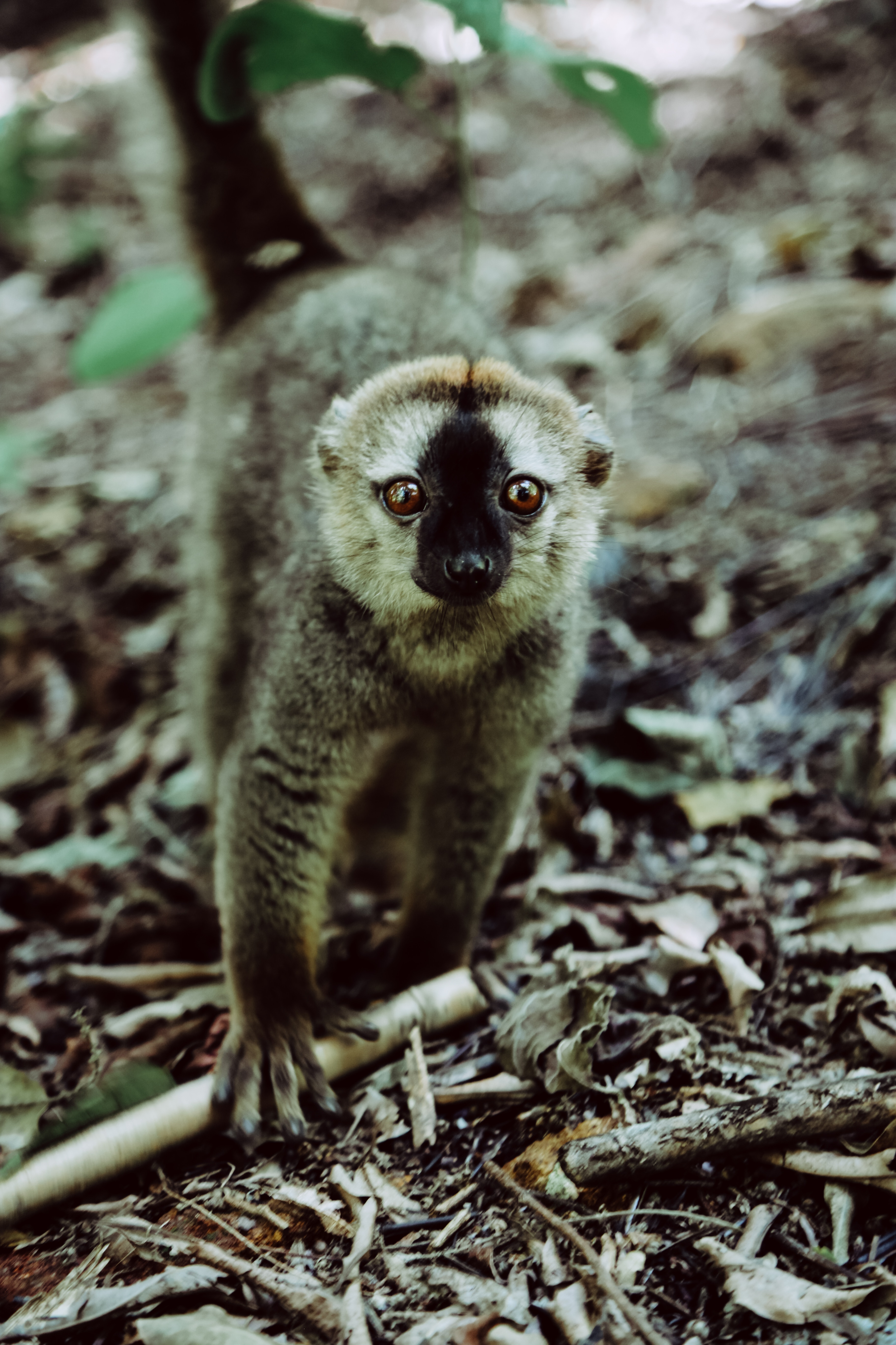 66779 download wallpaper Animals, Lemur, Animal, Sight, Opinion, Primate, Wildlife screensavers and pictures for free
