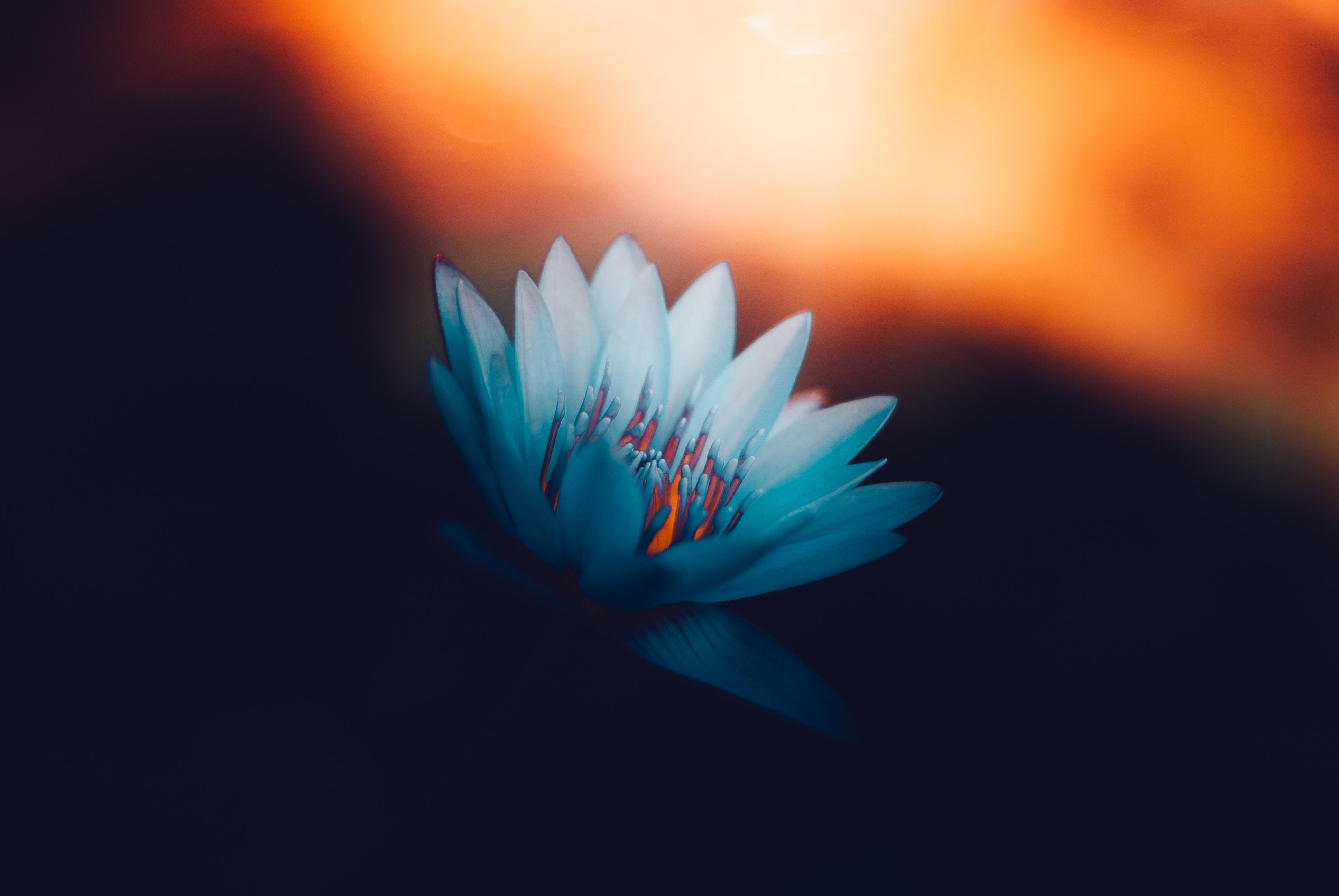 56046 Hintergrundbild herunterladen Blumen, Lotus, Scheinen, Licht, Blütenblätter, Blühen, Blühenden - Bildschirmschoner und Bilder kostenlos