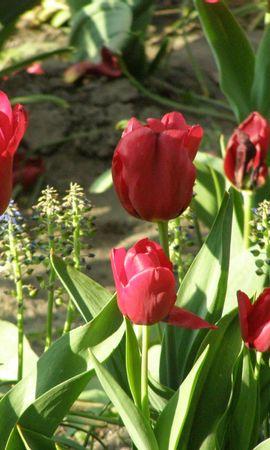 1782 descargar fondo de pantalla Plantas, Flores, Tulipanes: protectores de pantalla e imágenes gratis