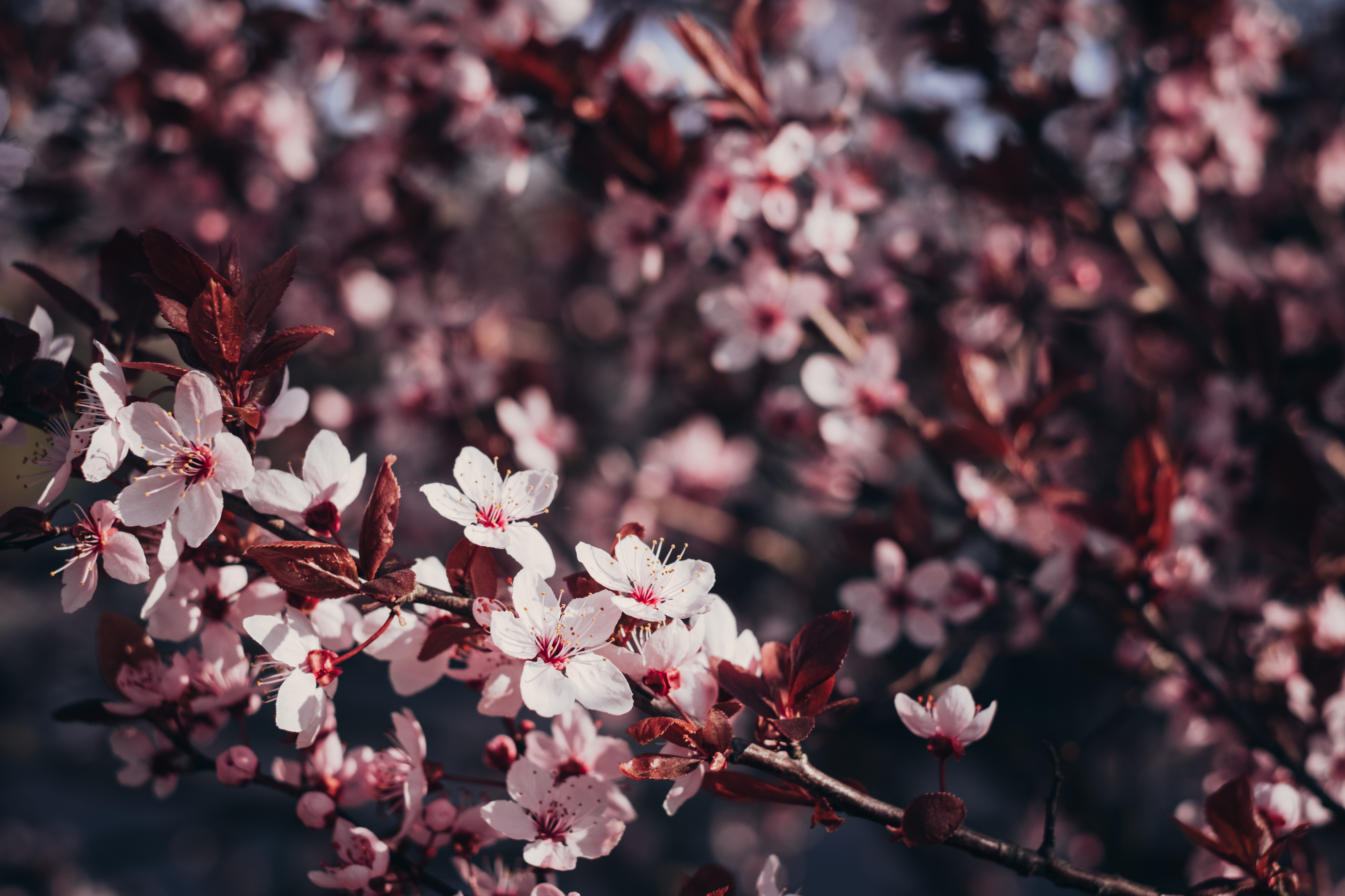 56065 Screensavers and Wallpapers Sakura for phone. Download Flowers, Cherry, Sakura, Wood, Tree, Branches, Bloom, Flowering pictures for free