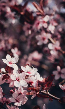 56065 скачать обои Цветы, Сакура, Ветки, Цветение, Дерево, Вишня - заставки и картинки бесплатно