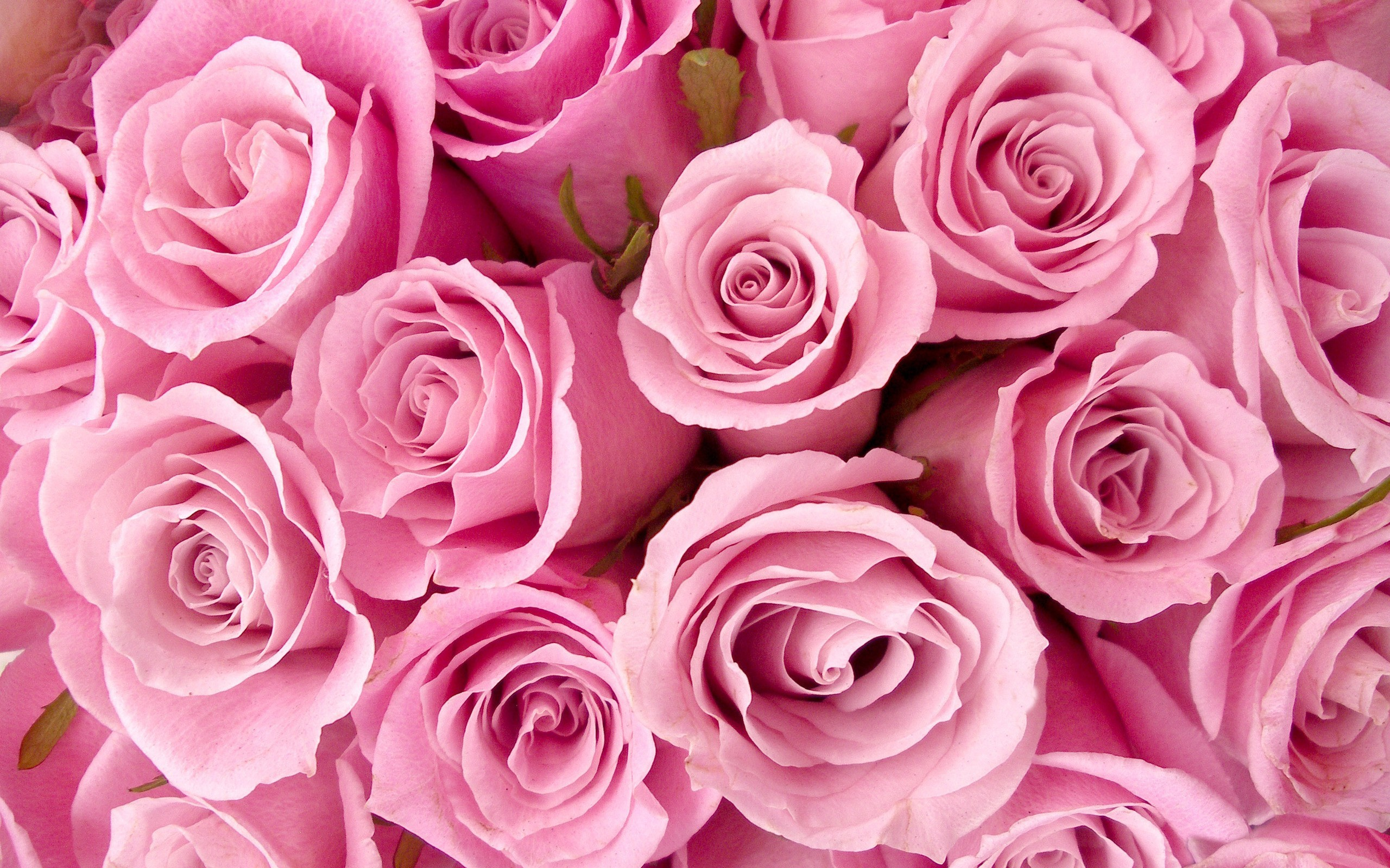 20759 télécharger le fond d'écran Plantes, Fleurs, Roses - économiseurs d'écran et images gratuitement
