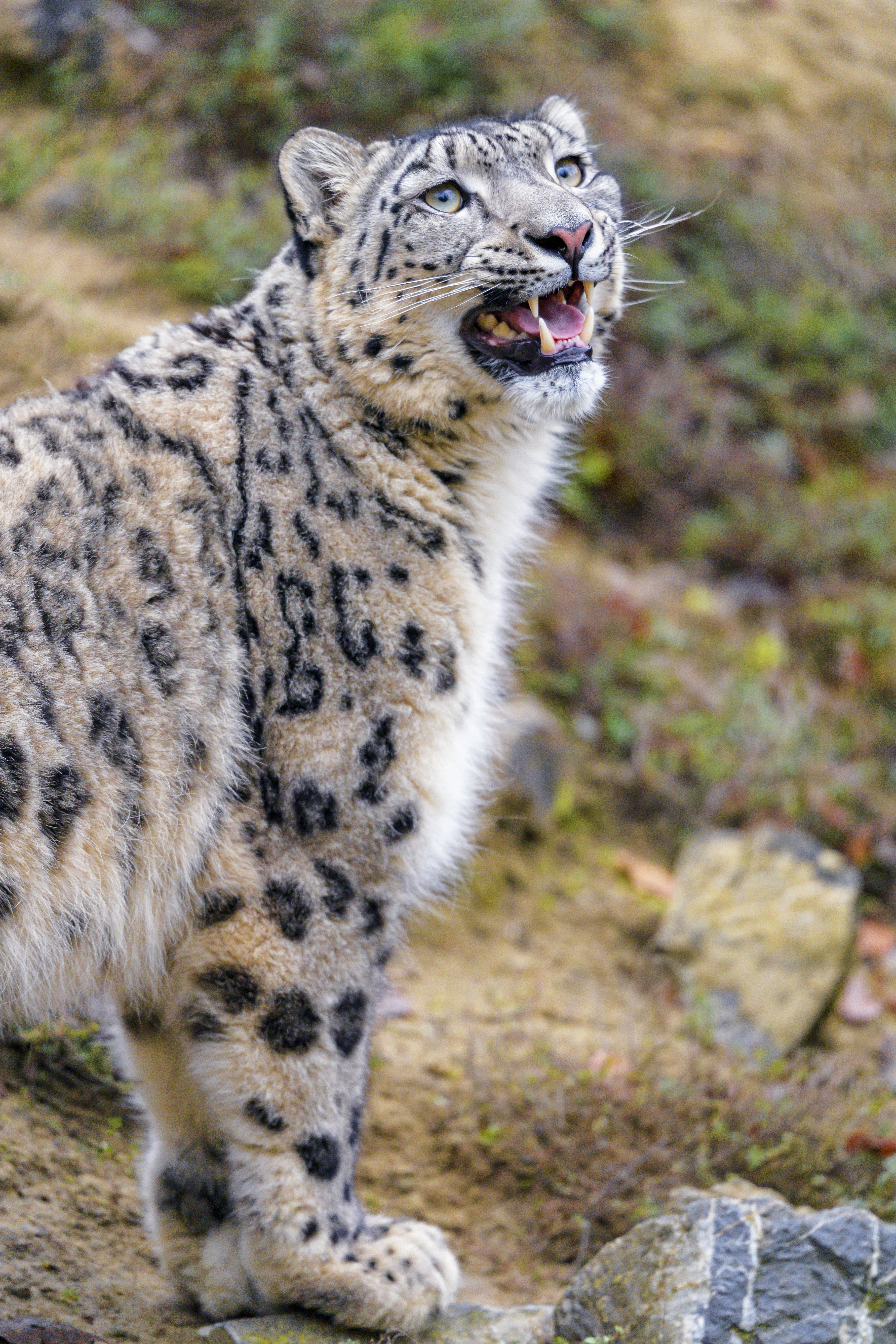101415 download wallpaper Animals, Animal, Big Cat, Grey, Snow Leopard screensavers and pictures for free