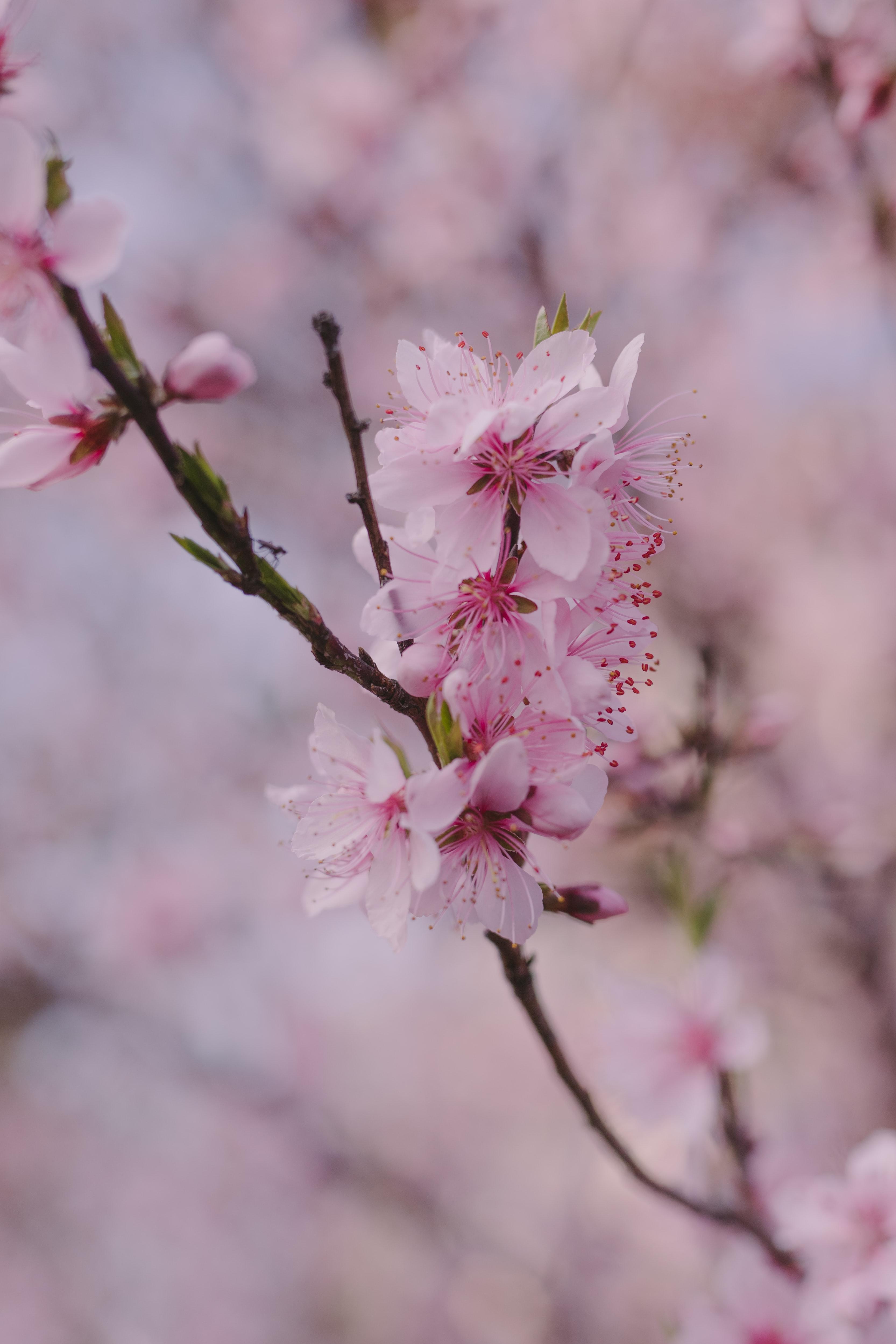55475 Screensavers and Wallpapers Sakura for phone. Download Flowers, Pink, Sakura, Macro, Petals, Branch, Spring pictures for free