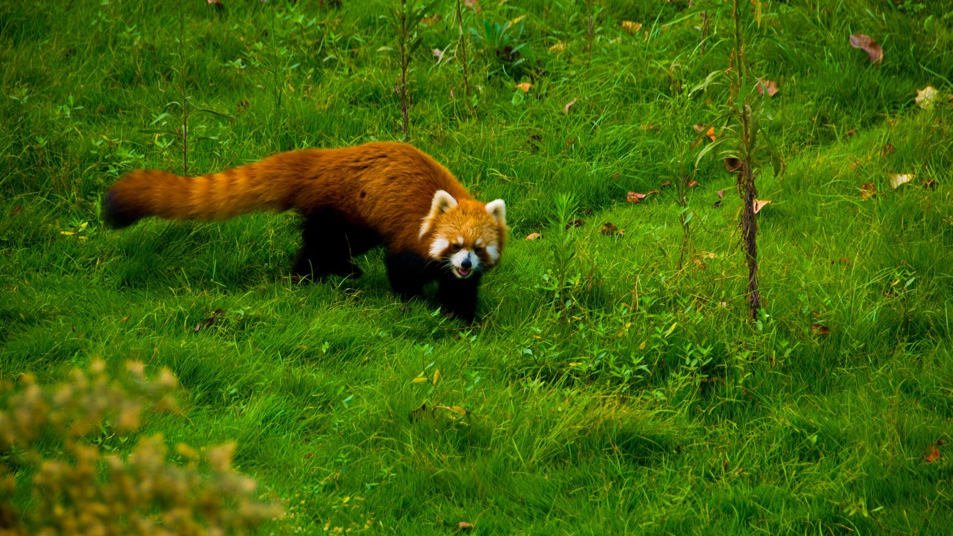 105012 Screensavers and Wallpapers Stroll for phone. Download Animals, Grass, Stroll, Red Panda pictures for free