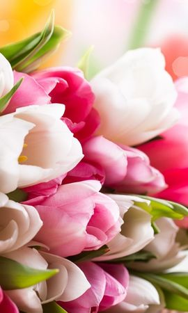 17426 download wallpaper Plants, Flowers, Tulips screensavers and pictures for free