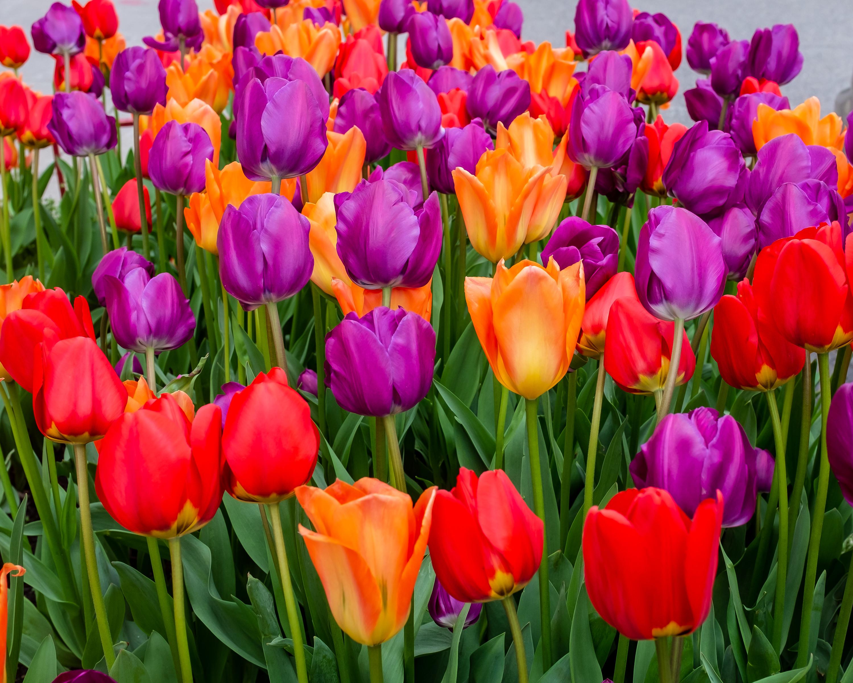 69434 скачать обои Тюльпаны, Цветы, Разноцветный, Цветение - заставки и картинки бесплатно