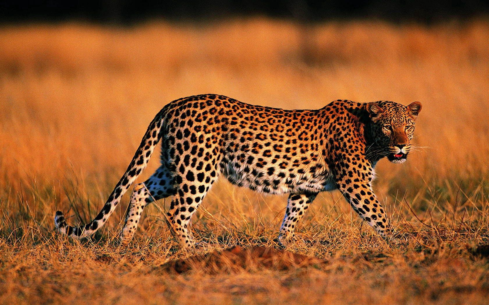 142209 download wallpaper Animals, Leopard, Stroll, Grass, Hunting, Hunt, Predator, Big Cat screensavers and pictures for free