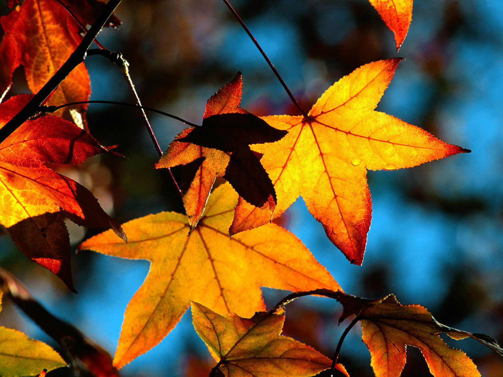 11848 download wallpaper Plants, Autumn, Leaves screensavers and pictures for free