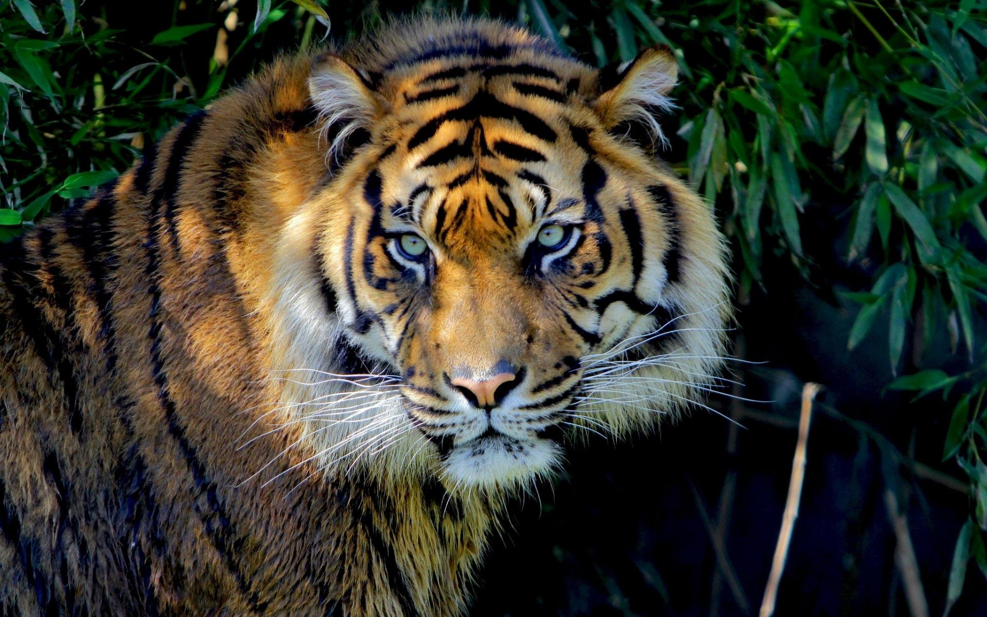 44550 descargar fondo de pantalla Animales, Tigres: protectores de pantalla e imágenes gratis