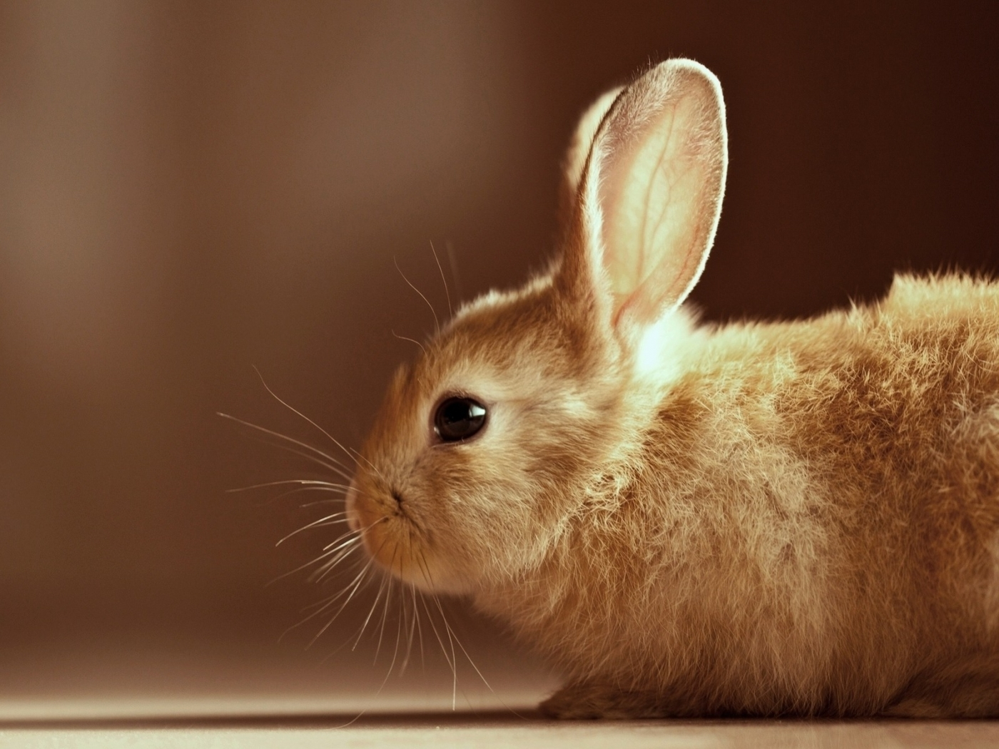 32023 download wallpaper Animals, Rabbits screensavers and pictures for free
