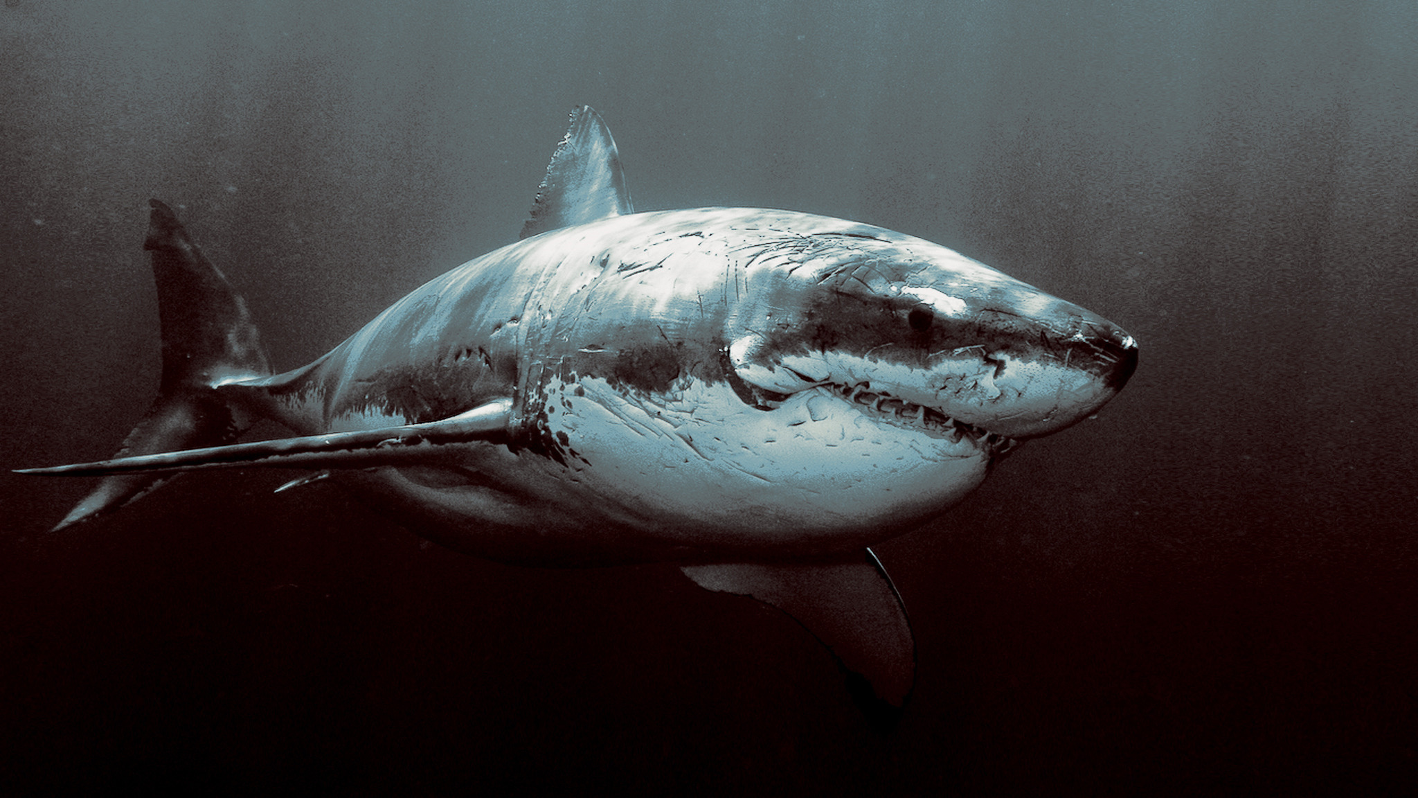 14723 download wallpaper Animals, Sharks, Fishes screensavers and pictures for free