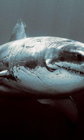 14723 baixar papel de parede Animais, Sharks, Peixes - protetores de tela e imagens gratuitamente