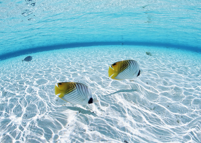 59693 скачать обои Бабочки, Рыбы, Животные, Море, Пара, Дно, Мелководье - заставки и картинки бесплатно
