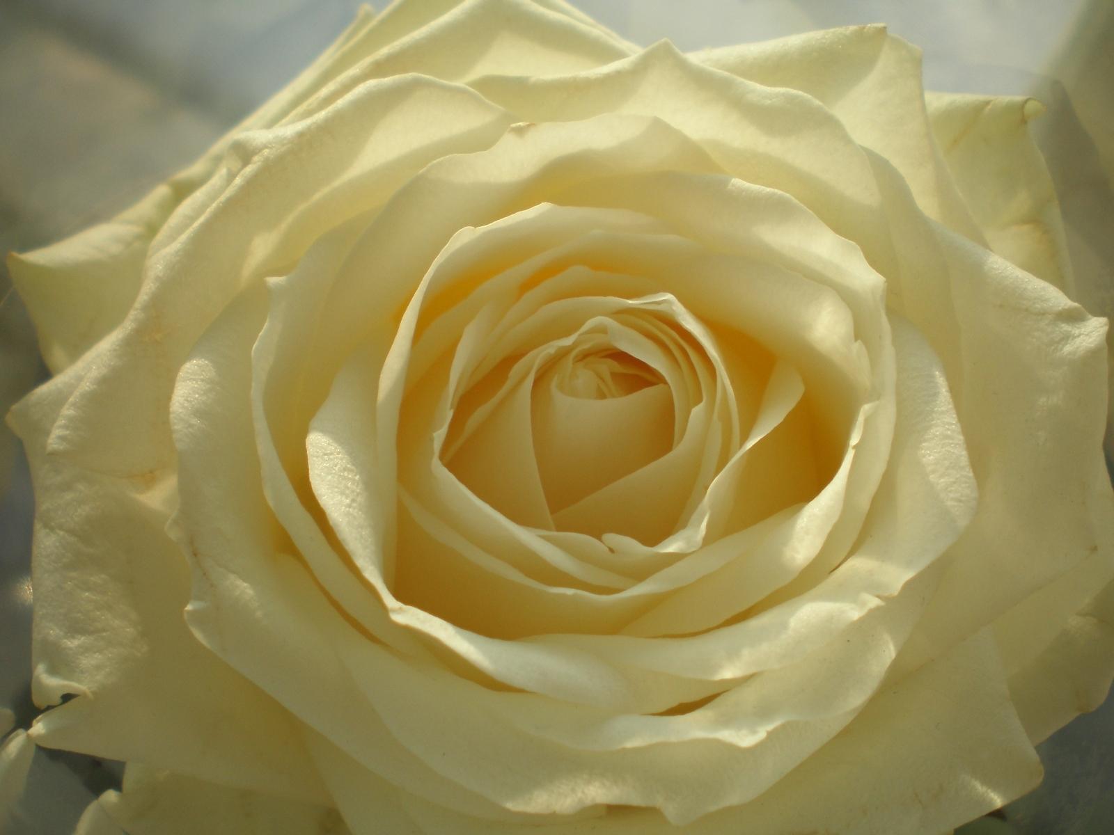 3465 скачать обои Растения, Цветы, Розы - заставки и картинки бесплатно