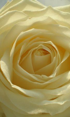 3465 descargar fondo de pantalla Plantas, Flores, Roses: protectores de pantalla e imágenes gratis