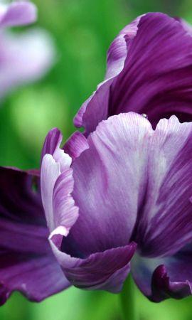 40827 descargar fondo de pantalla Plantas, Flores, Violeta: protectores de pantalla e imágenes gratis