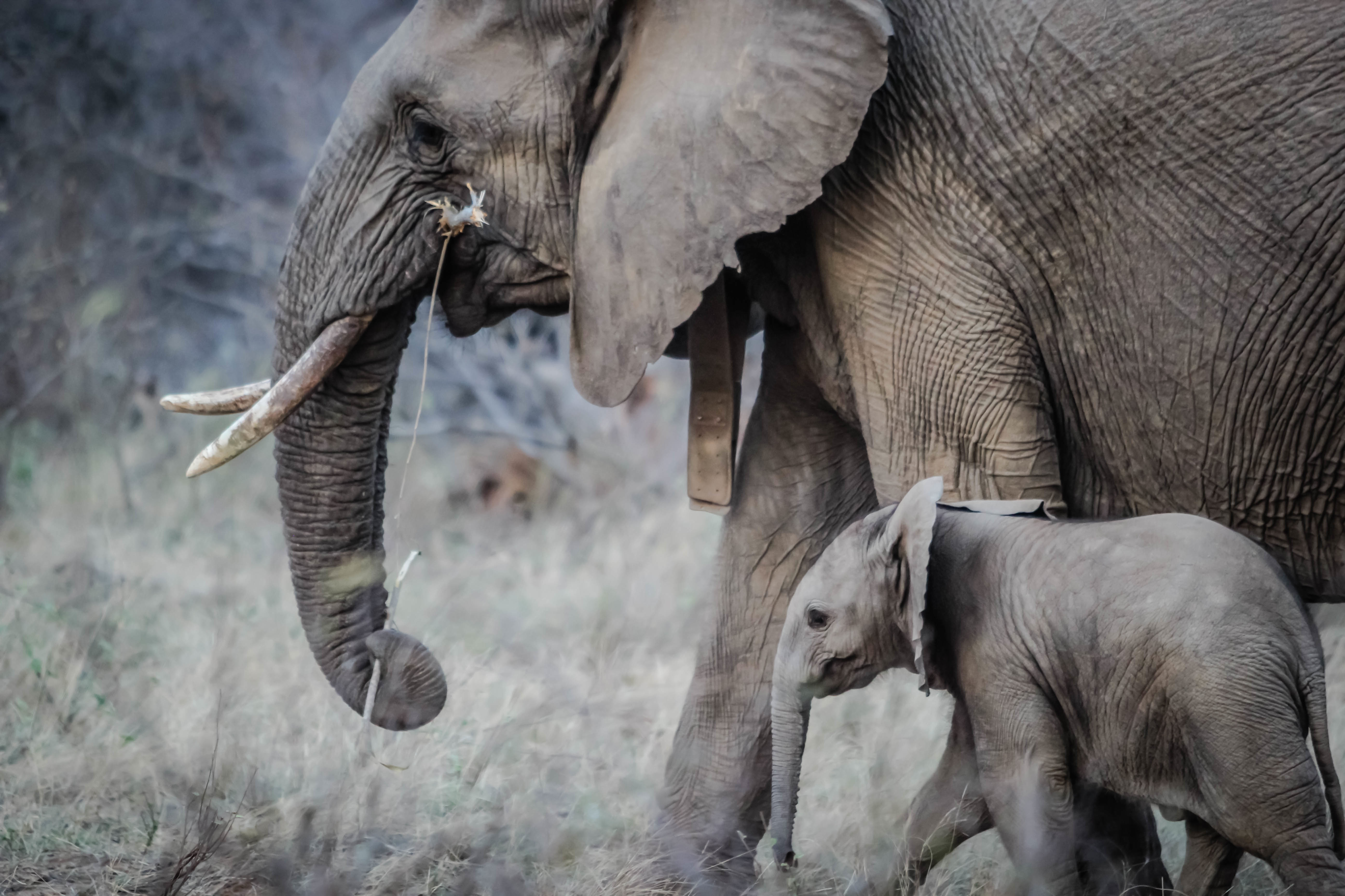 116302 download wallpaper Animals, Stroll, Young, Joey, Trunk, Tusks, Elephants screensavers and pictures for free