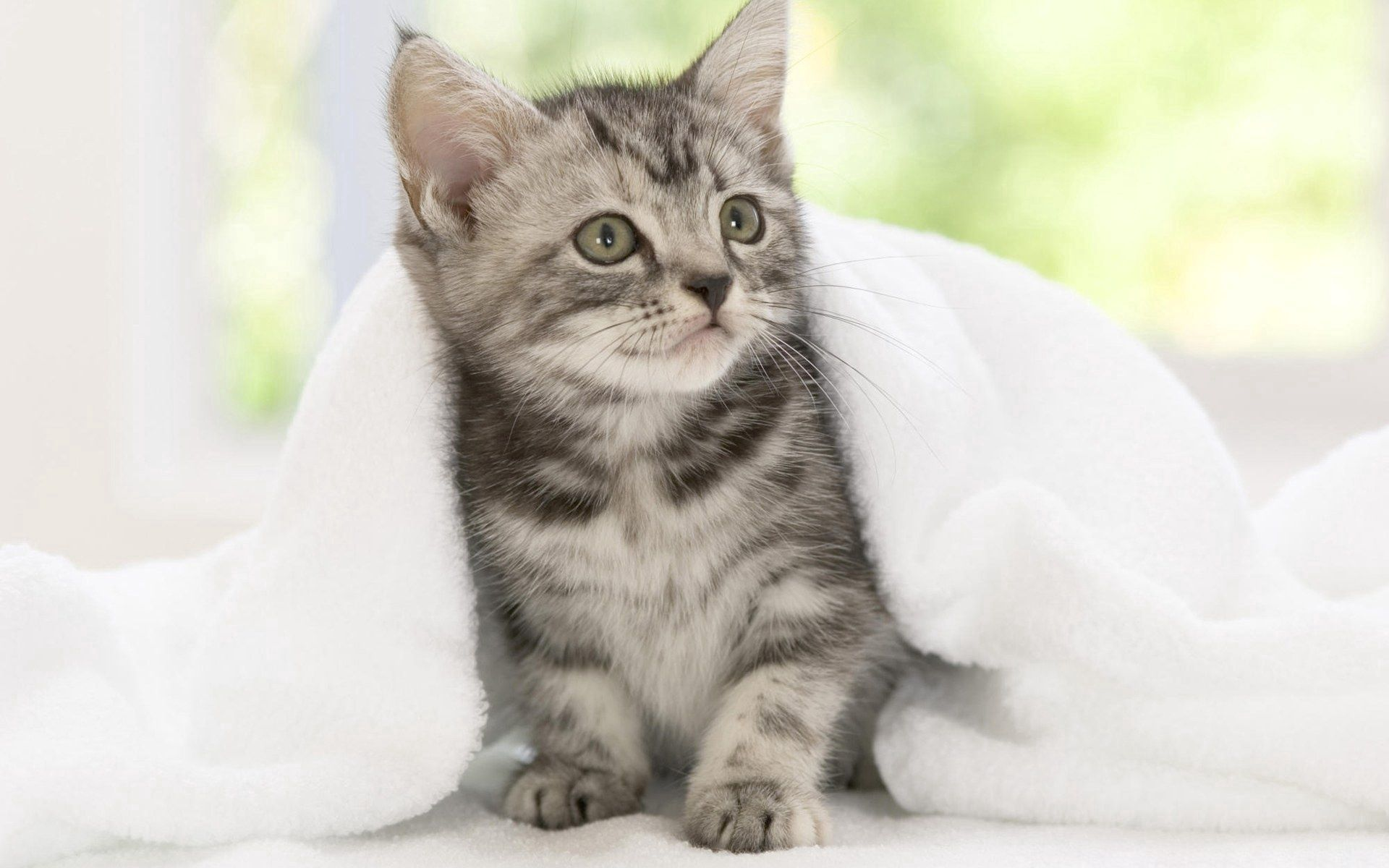 97596 download wallpaper Animals, Kitty, Kitten, Blanket, Sight, Opinion, Expectation, Waiting screensavers and pictures for free