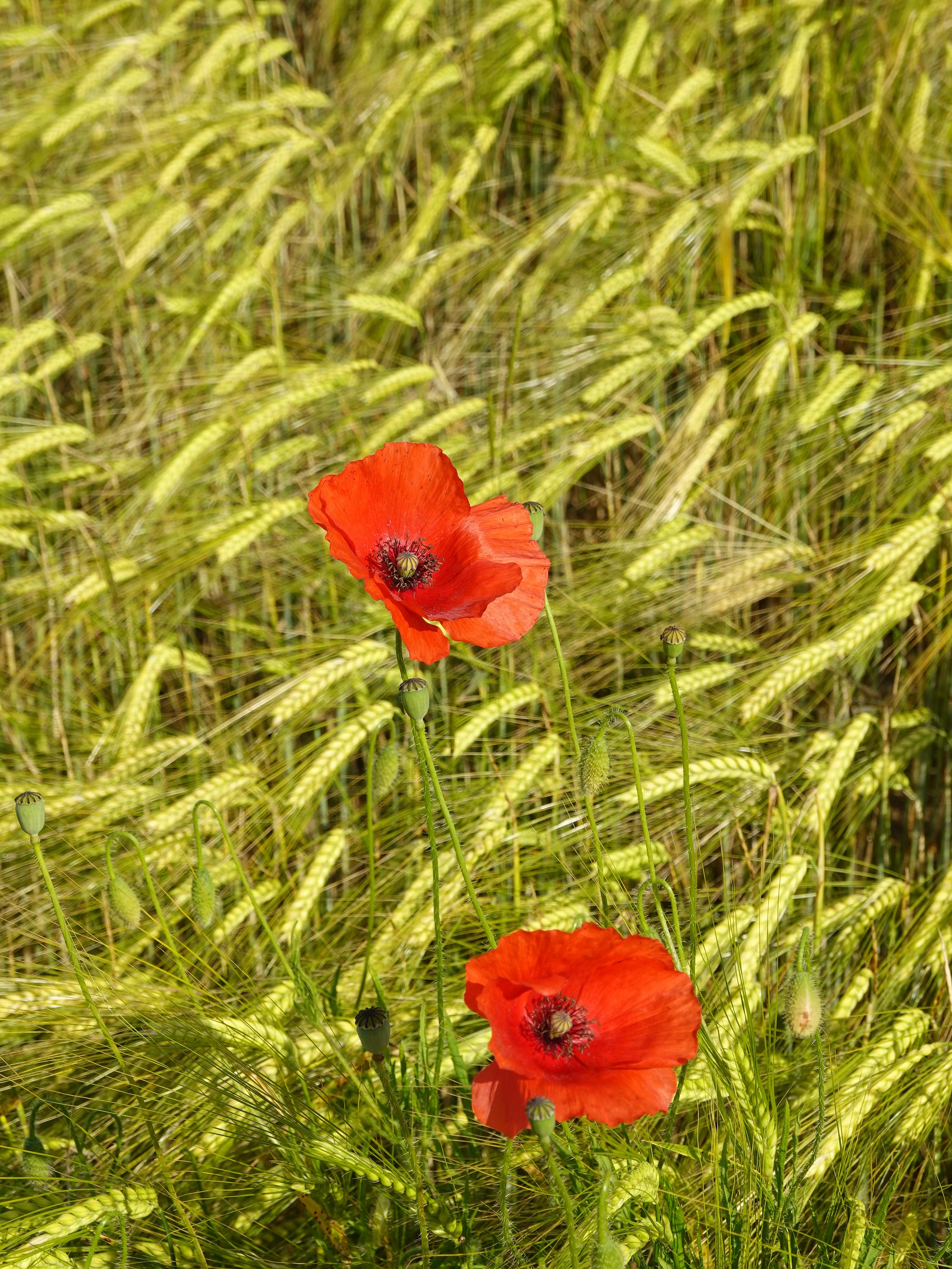 129035 скачать обои Цветы, Маки, Красный, Колоски, Растения - заставки и картинки бесплатно