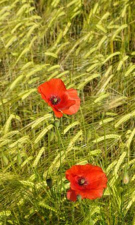 129035 descargar fondo de pantalla Flores, Amapolas, Espiguillas, Conos, Plantas: protectores de pantalla e imágenes gratis