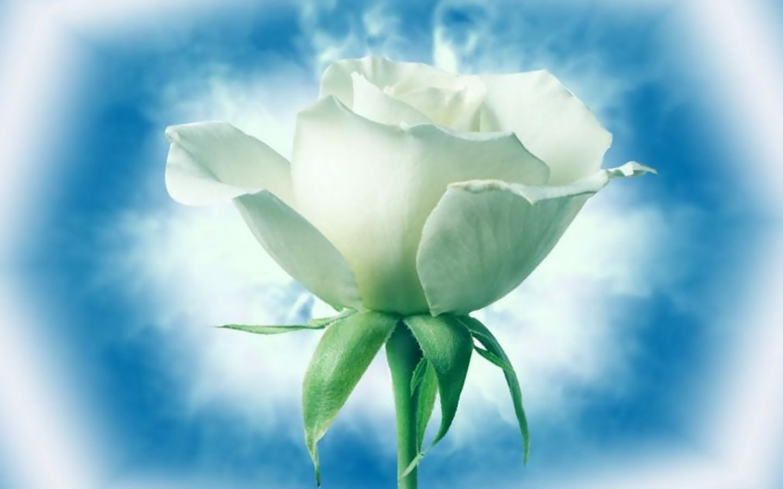 24894 télécharger le fond d'écran Plantes, Fleurs, Roses - économiseurs d'écran et images gratuitement