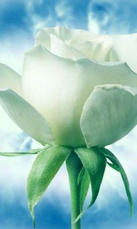 24894 скачать обои Растения, Цветы, Розы - заставки и картинки бесплатно