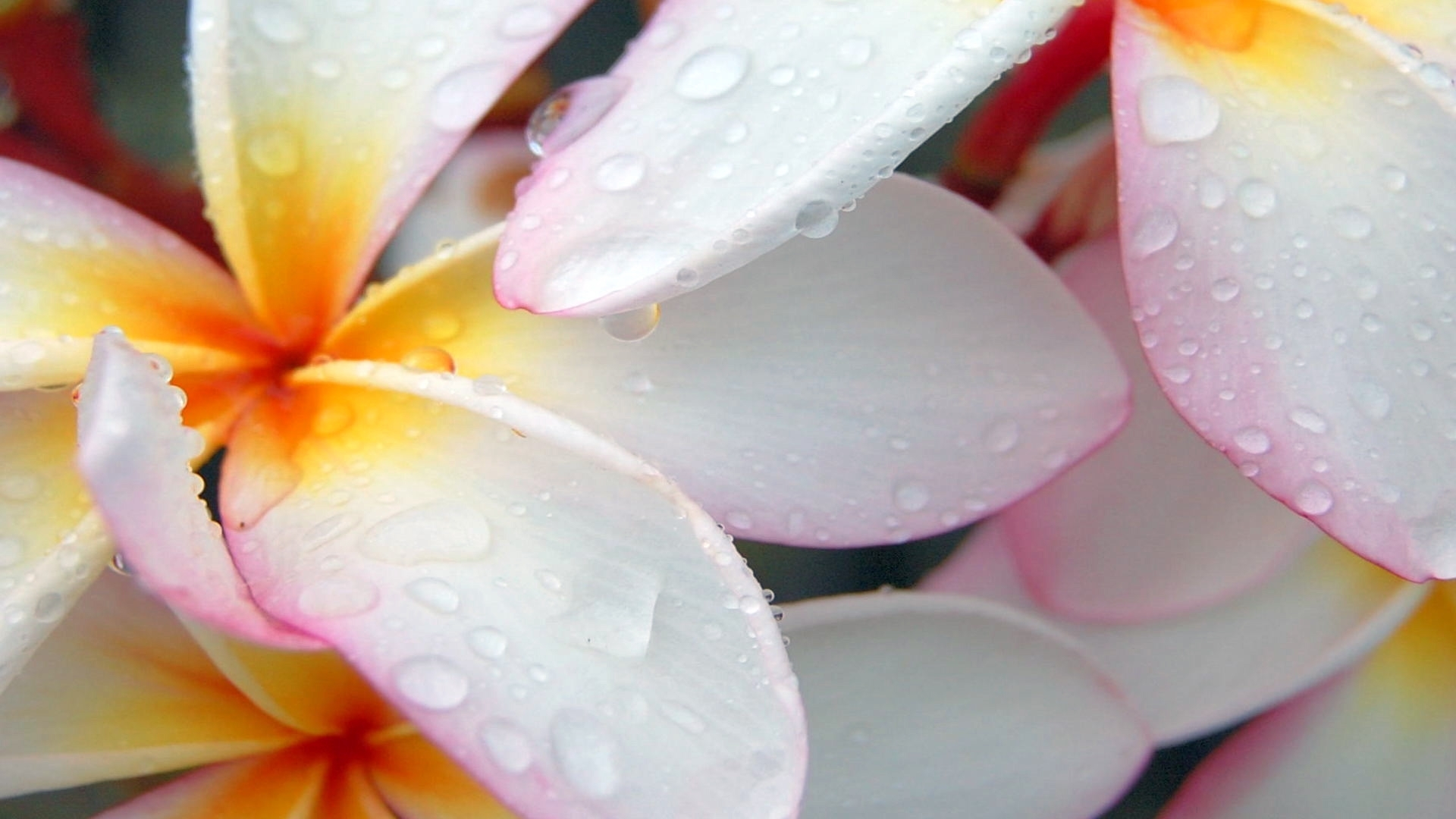 24746 download wallpaper Plants, Flowers, Drops screensavers and pictures for free
