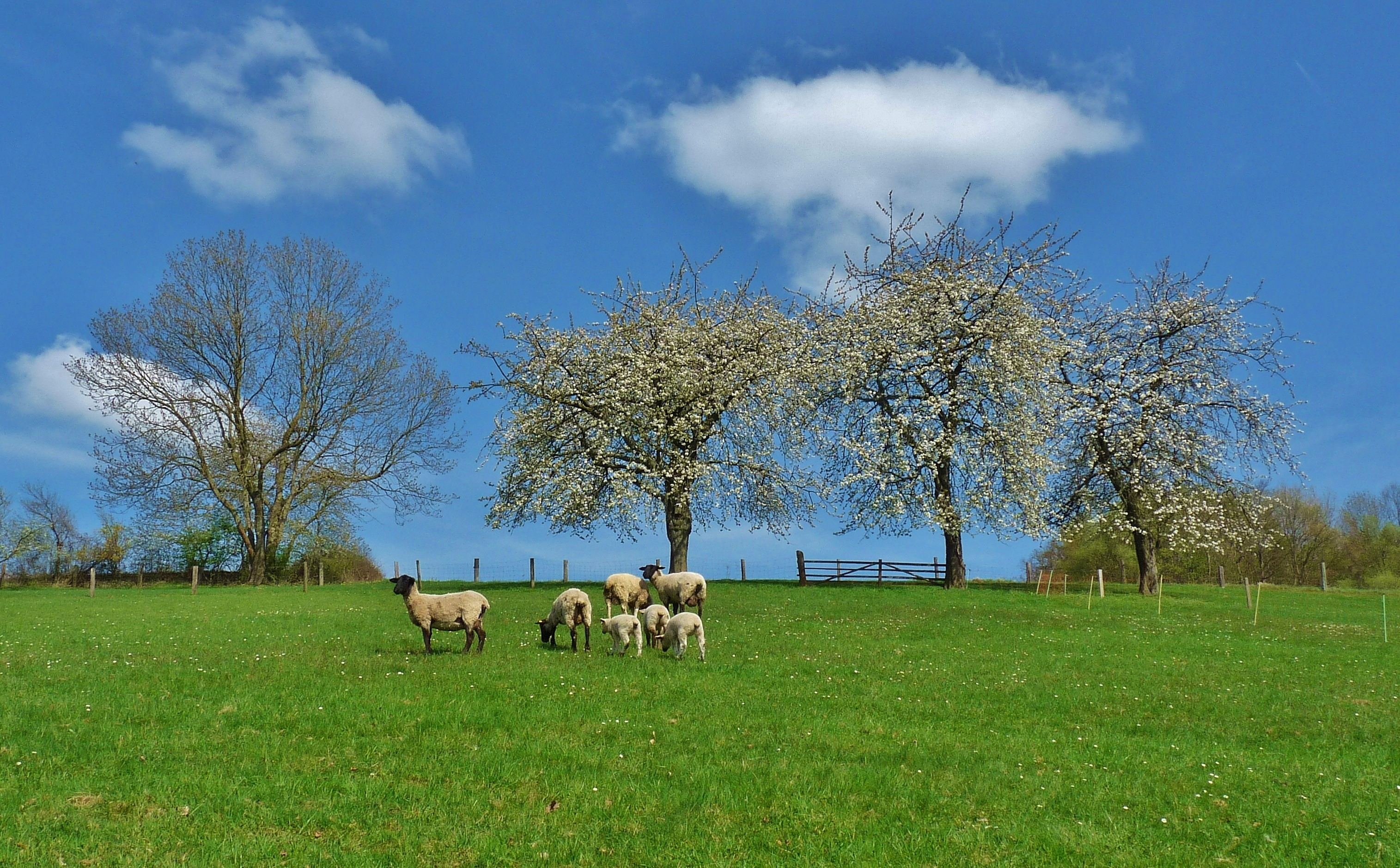 125462 Screensavers and Wallpapers Sheep for phone. Download Animals, Landscape, Trees, Field, Sheep, Sheeps pictures for free