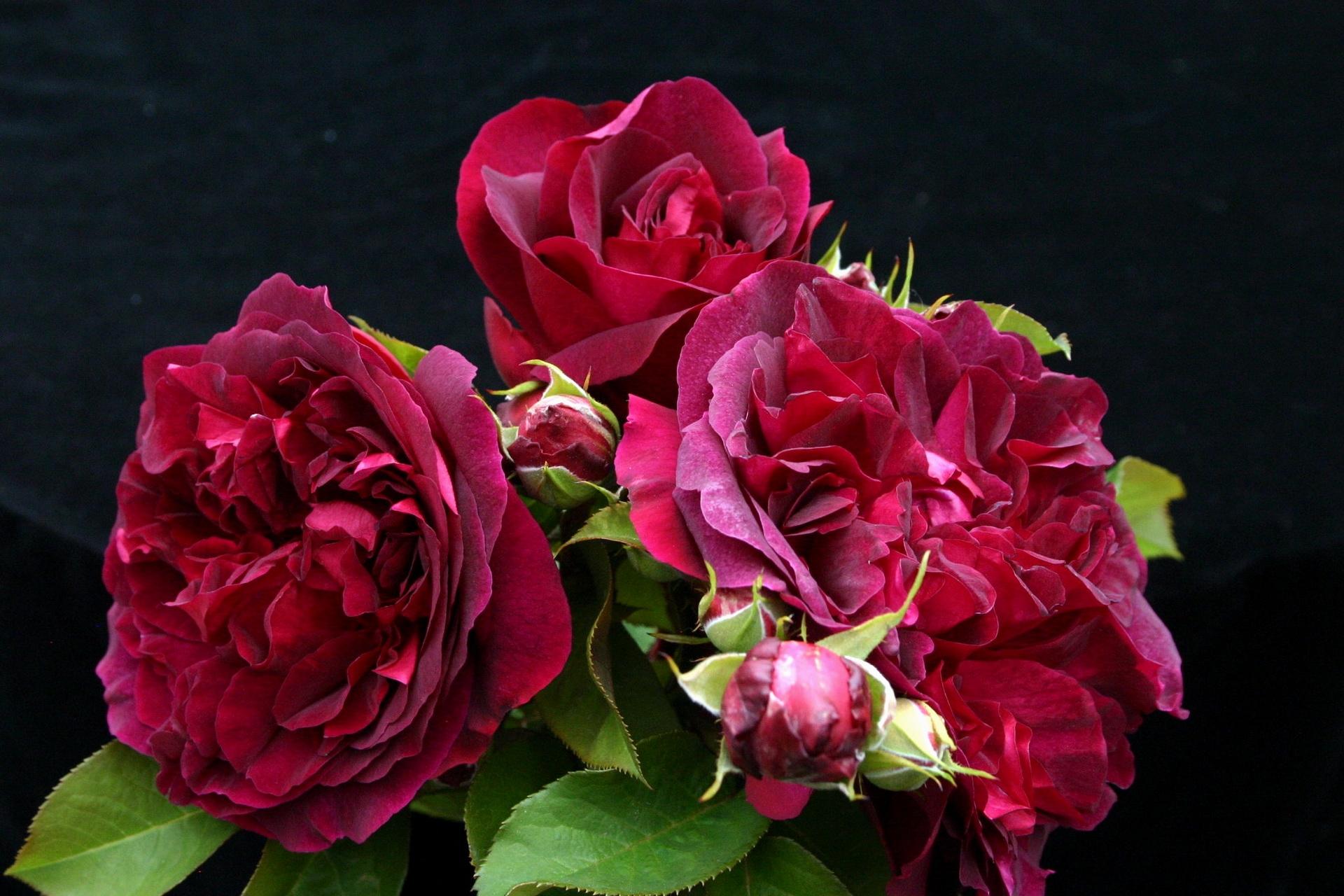 120117 descargar fondo de pantalla Flores, Roses, Hojas, Ramo, Cogollos, Brotes, Tres: protectores de pantalla e imágenes gratis
