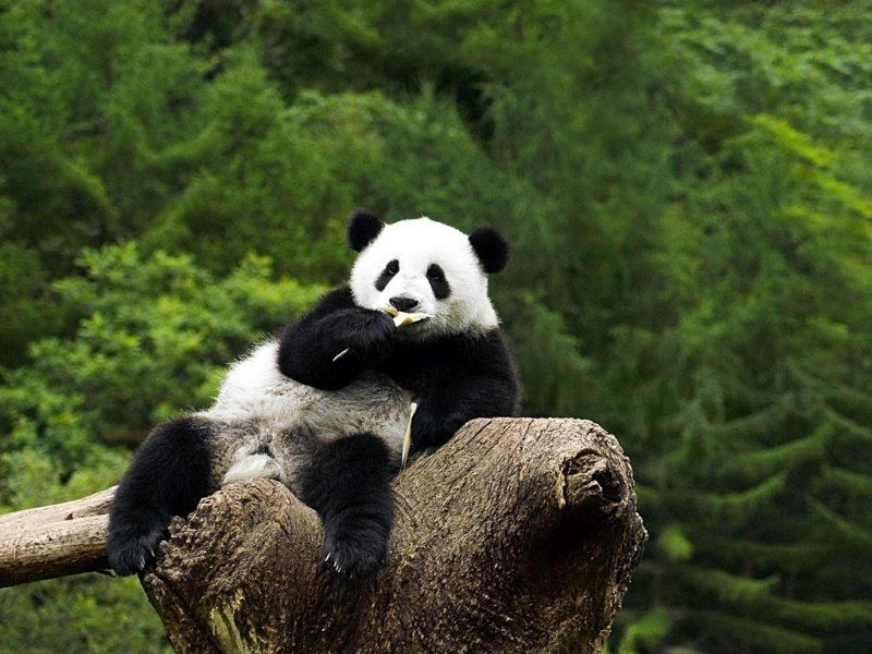 40859 download wallpaper Animals, Pandas screensavers and pictures for free