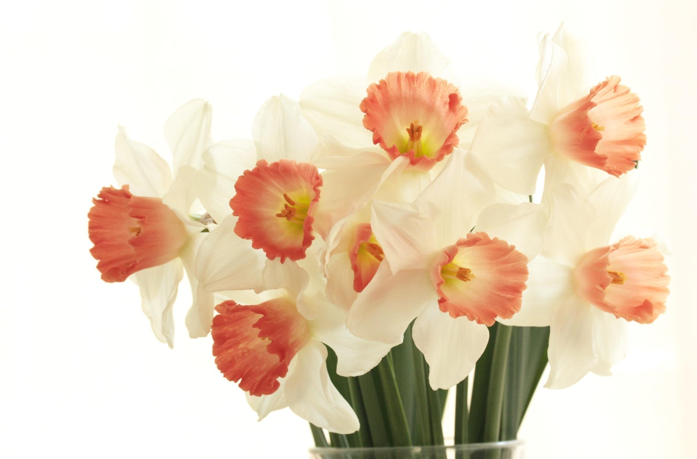 96501 Заставки и Обои Нарциссы на телефон. Скачать Цветы, Нарциссы, Букет, Весна, Белый Фон картинки бесплатно