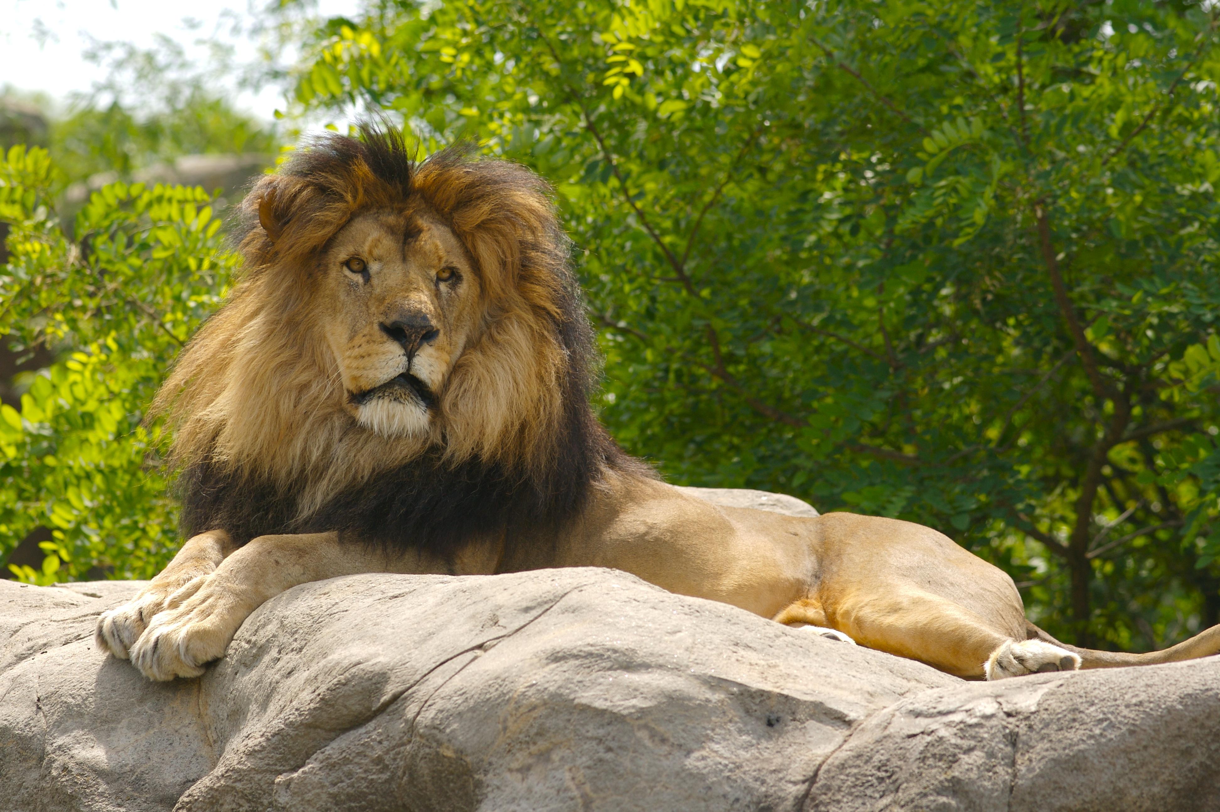 85706 Protetores de tela e papéis de parede Rei Das Feras em seu telefone. Baixe Animais, Leão, Um Leão, Patas, Rei Das Feras, Rei Das Bestas fotos gratuitamente