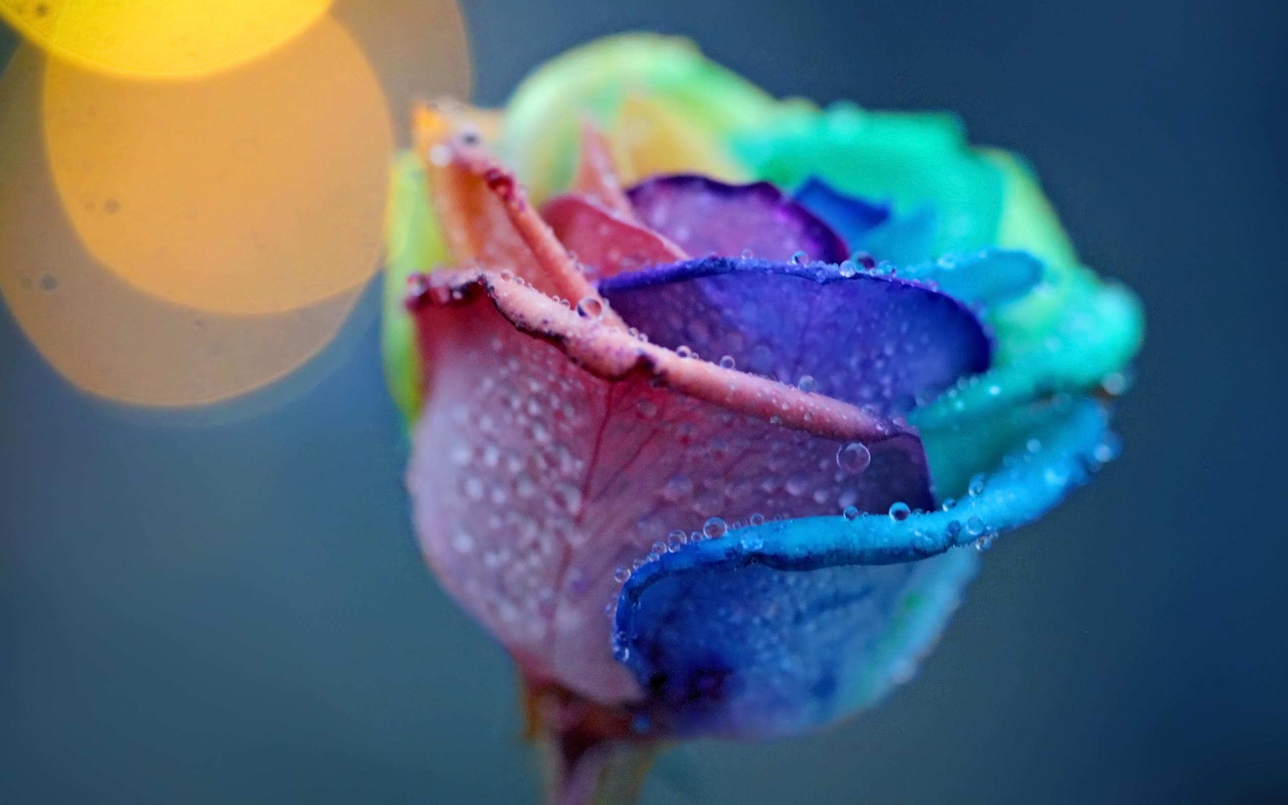 24869 télécharger le fond d'écran Plantes, Fleurs, Roses, Drops - économiseurs d'écran et images gratuitement