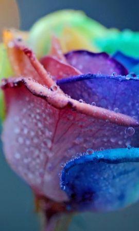 24869 скачать обои Растения, Цветы, Розы, Капли - заставки и картинки бесплатно
