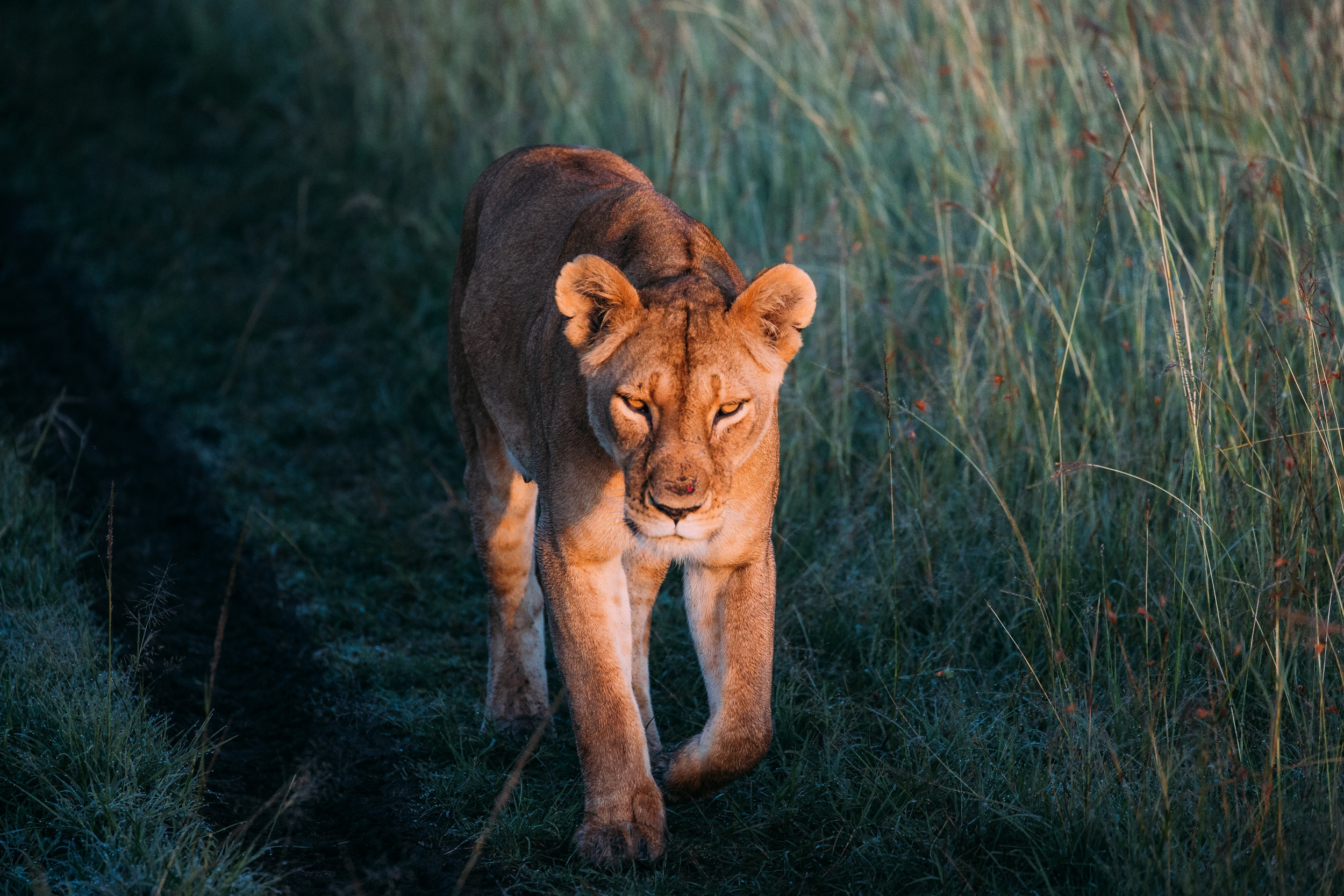 101731 download wallpaper Animals, Lioness, Lion, Predator, Grass, Stroll screensavers and pictures for free