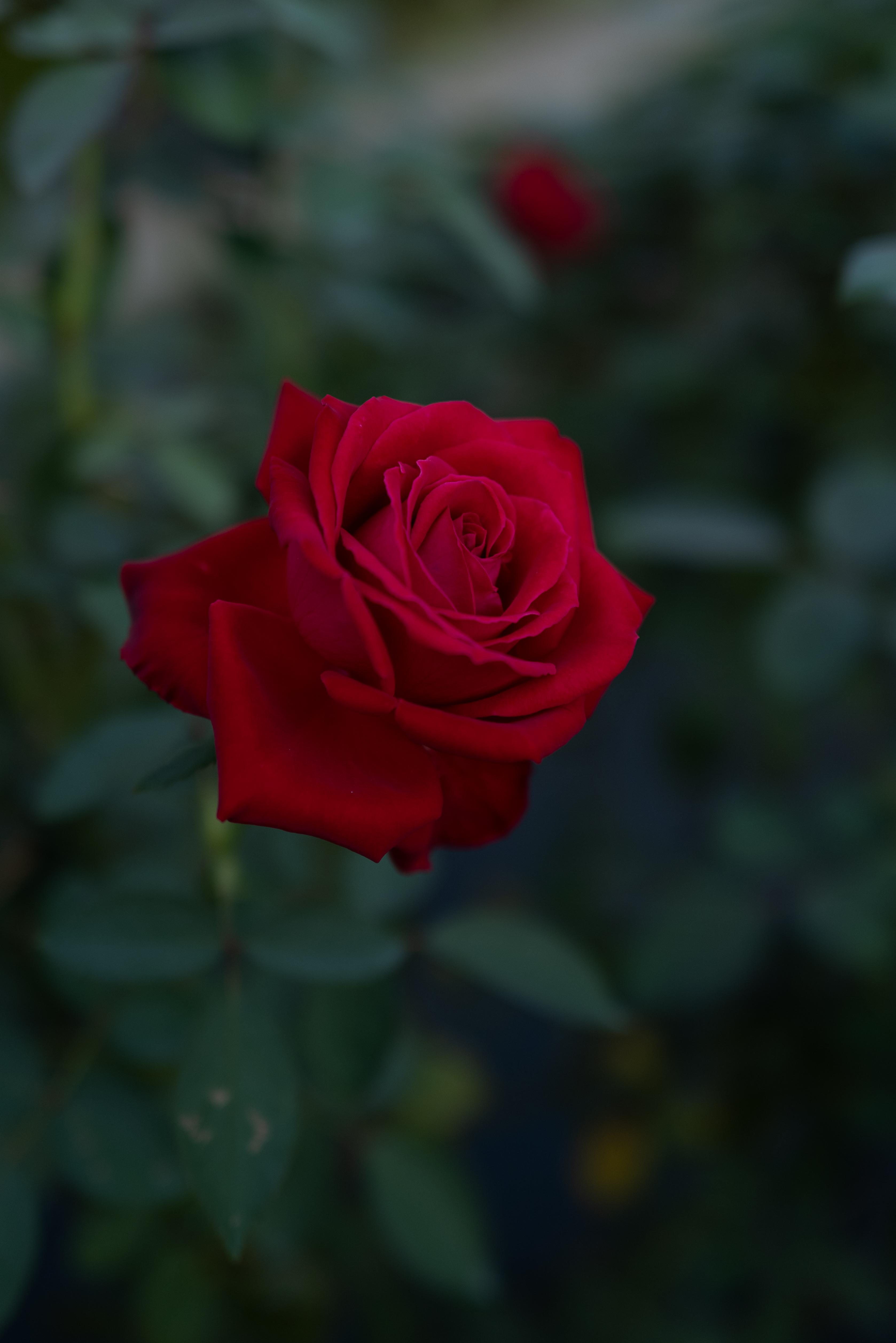 100198 Hintergrundbild 240x400 kostenlos auf deinem Handy, lade Bilder Blumen, Blume, Pflanze, Rose 240x400 auf dein Handy herunter